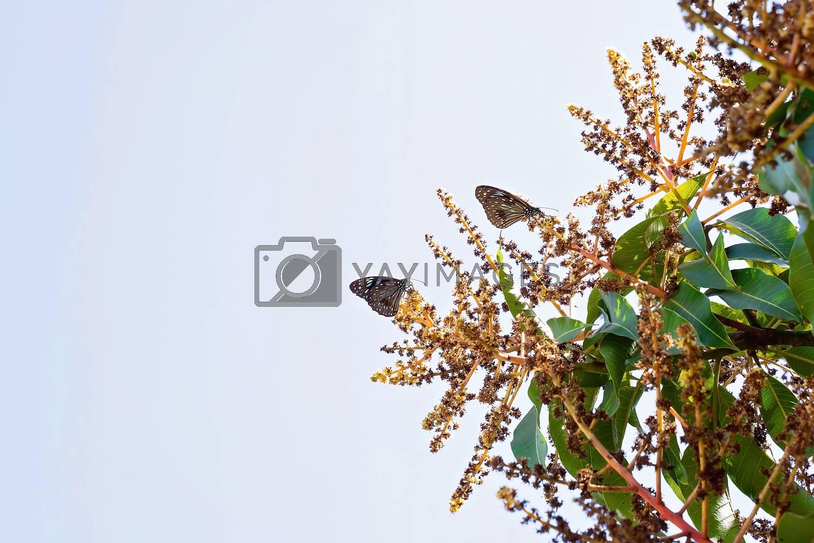 Two Blue Tiger butterflies on garden flowers