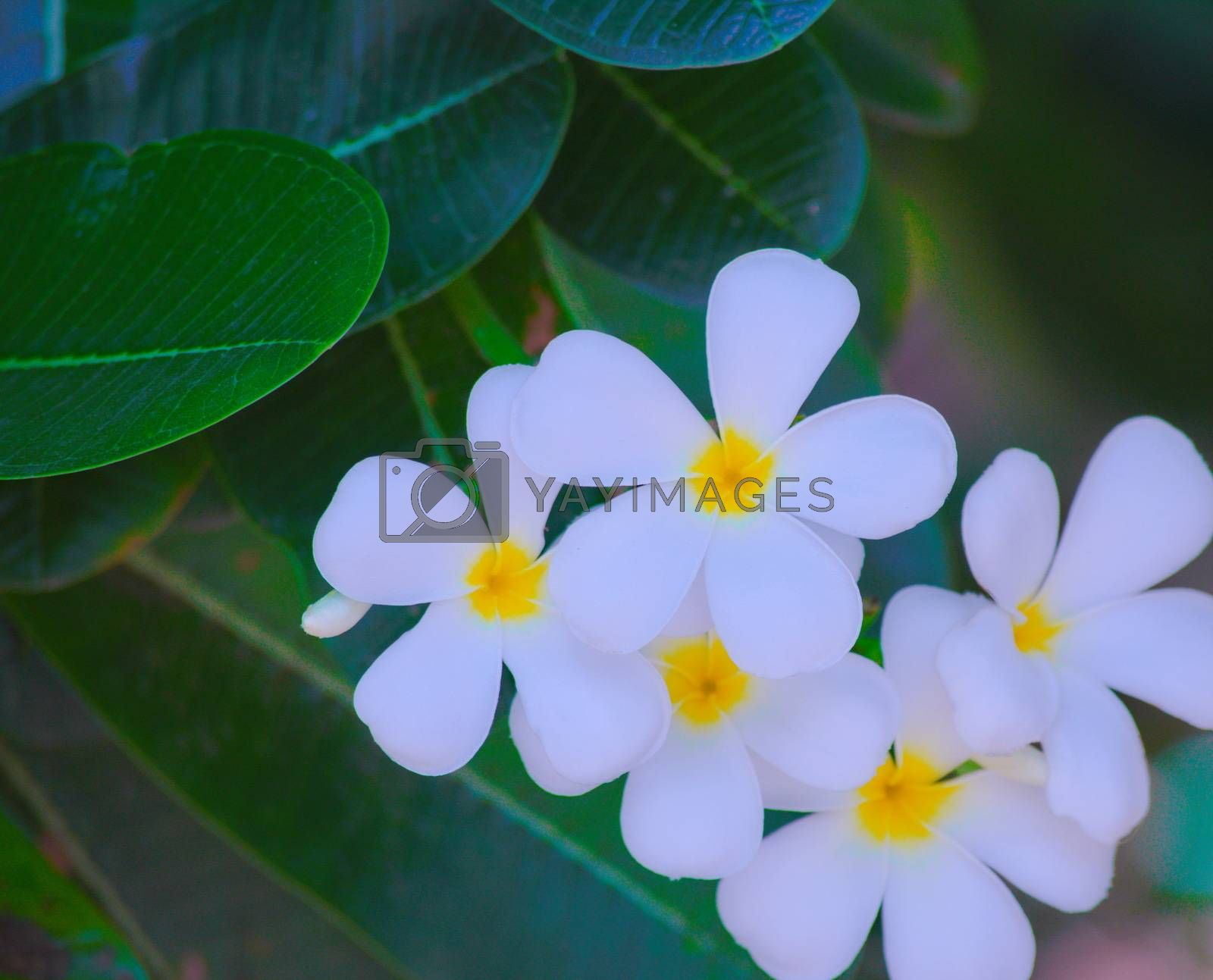 White flower clusters on green leaf background. Front and backyard. Garden.