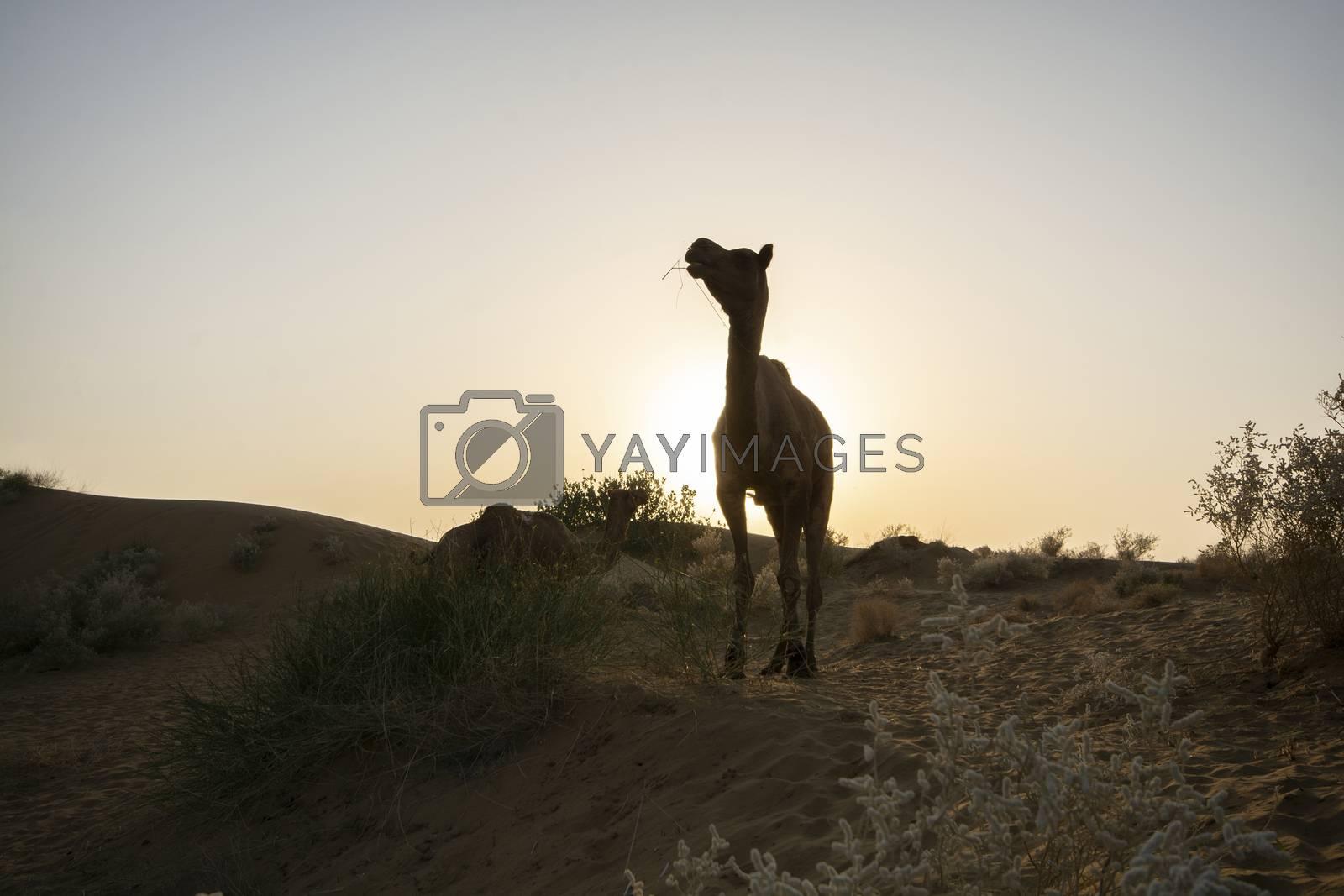 Camels in desert at twilight, Thar Desert in Jaisalmer, Rajasthan State, India