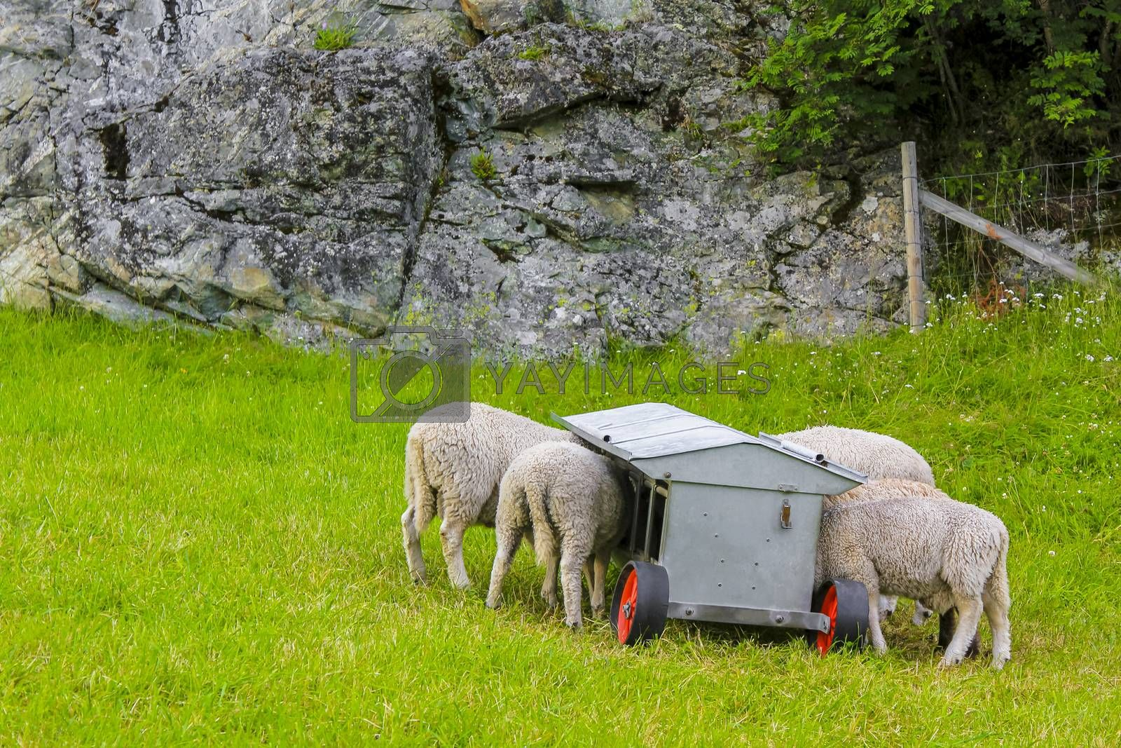 Hungry sheep eat from feed wagons in Hemsedal, Norway.