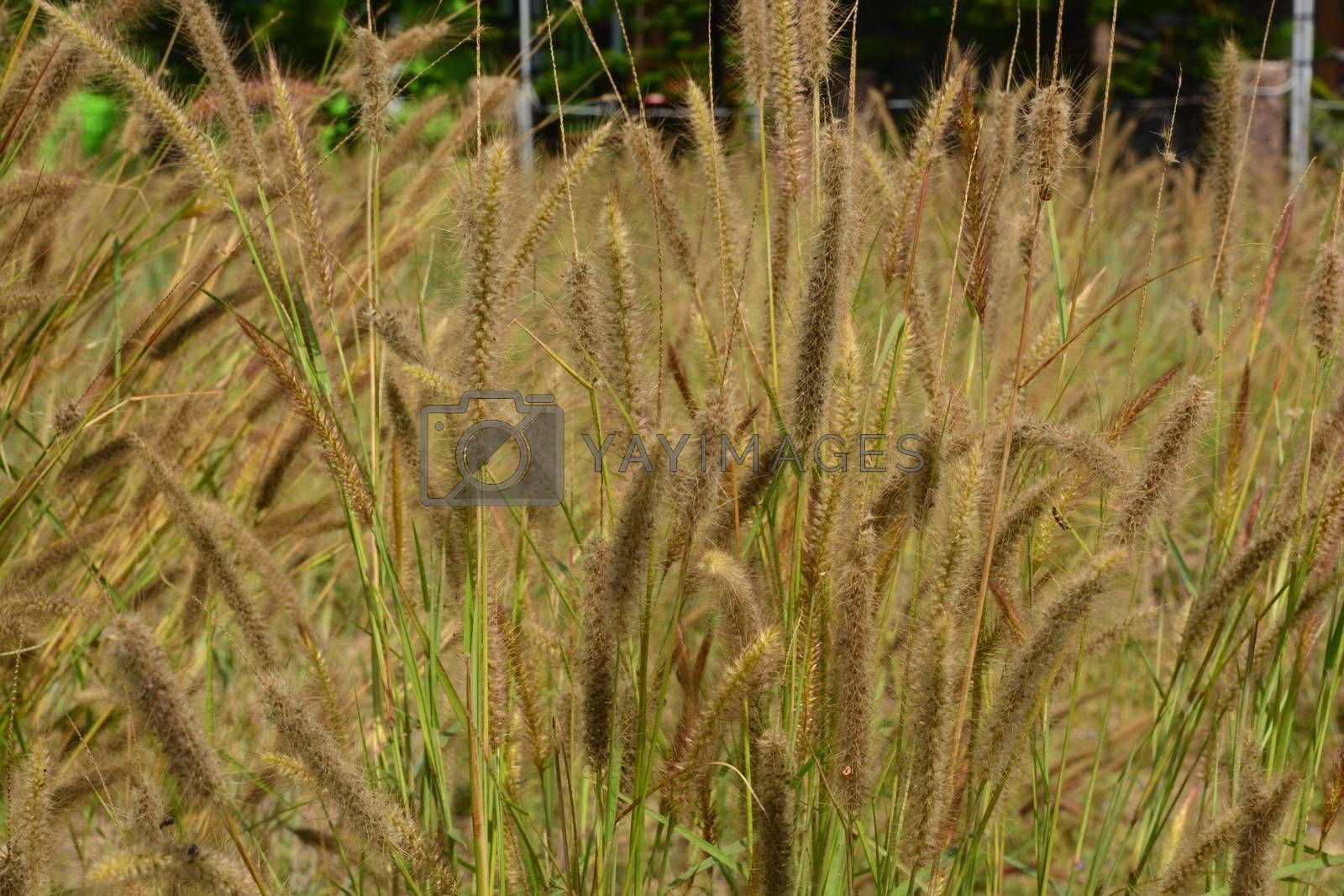 Fountain Grass Ornamental Plant in Meadow with soft focus background
