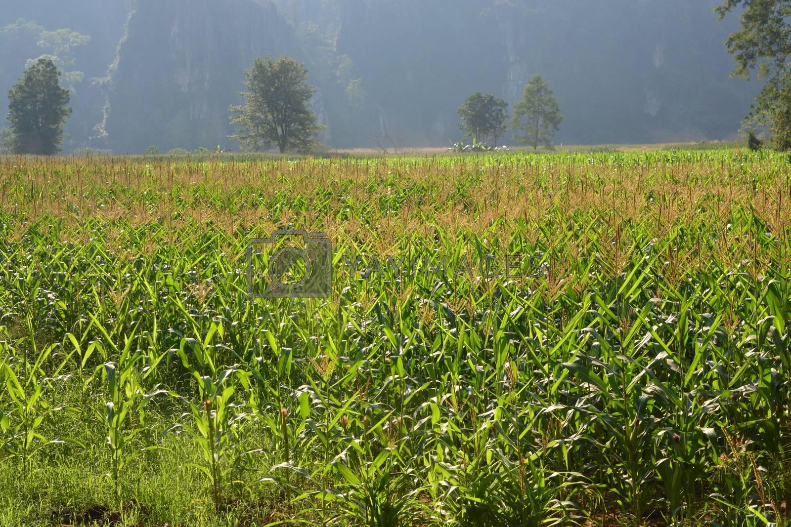 Corn trees farm green field
