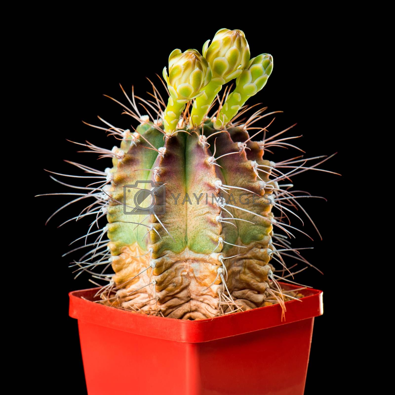 Beautiful Cactus Flowers in Flower Pot Blooming Isolated on Black Background. Gymnocalycium Flower buds with three blossoms.