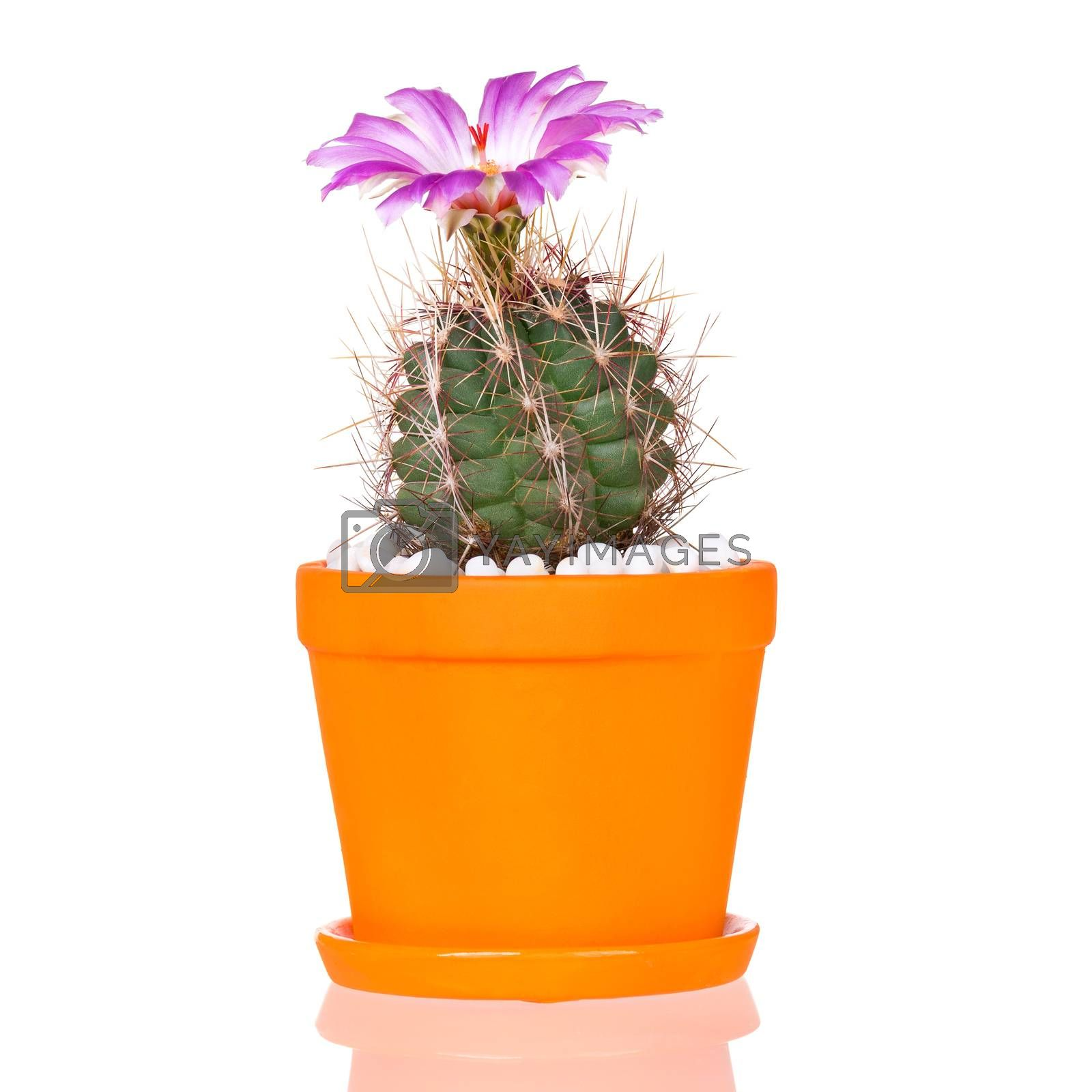 Beautiful Cactus Flowers in orange Flower Pot Blooming isolated on White Background.