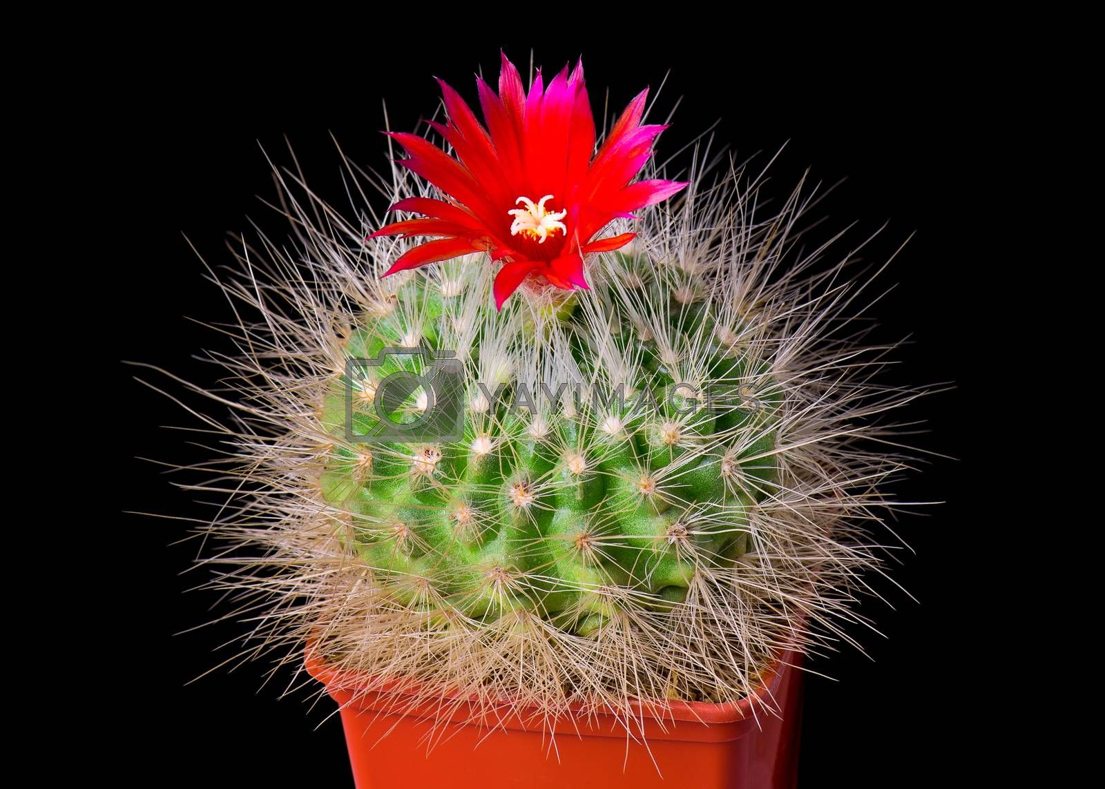 Beautiful cactus or cacti flowers which are in their colorful blooming on black background. Opening red Parodia penicillata.