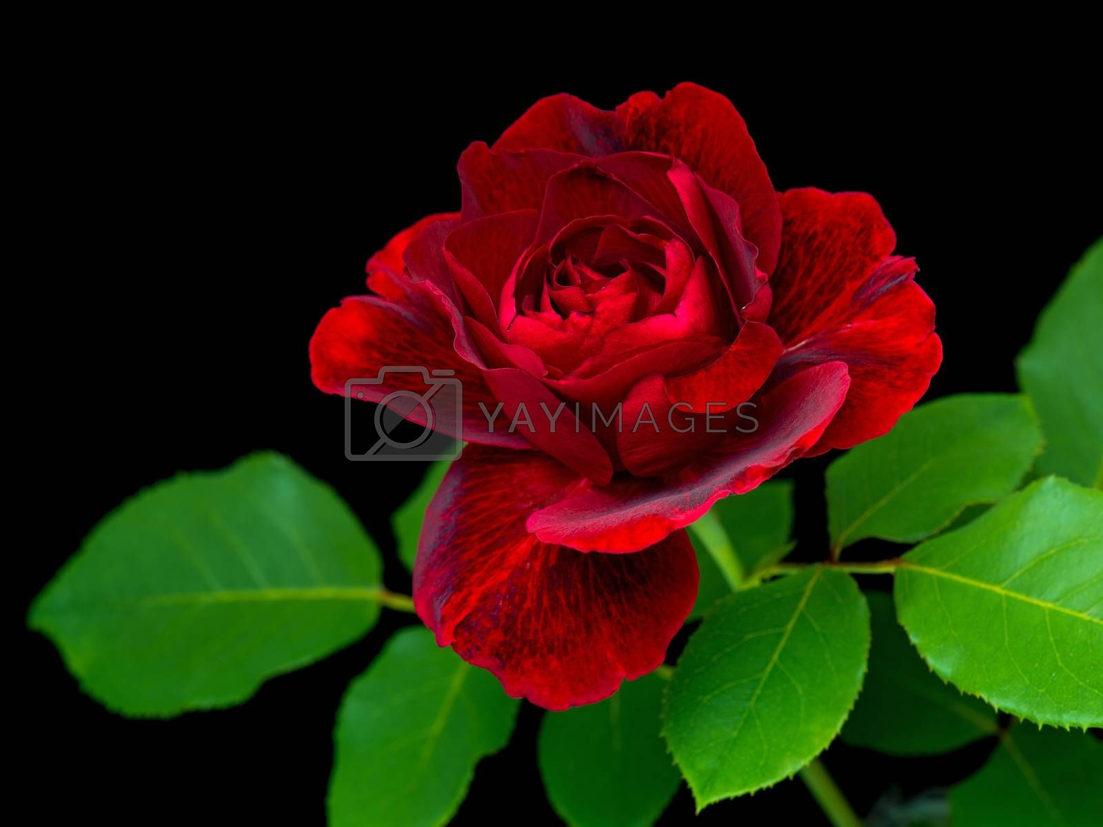Single beautiful red rose with green leaves on a black background - close up studio photo.