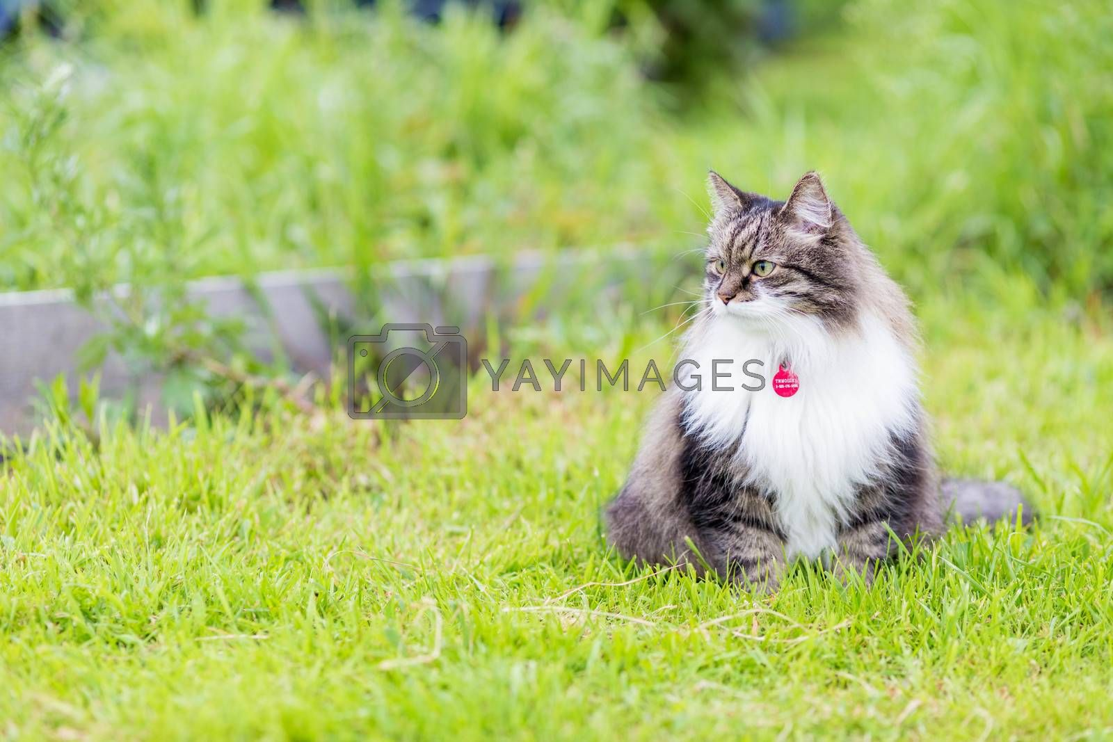 A fluffy gray cat with a luxurious white breast sits in the grass and looks aside