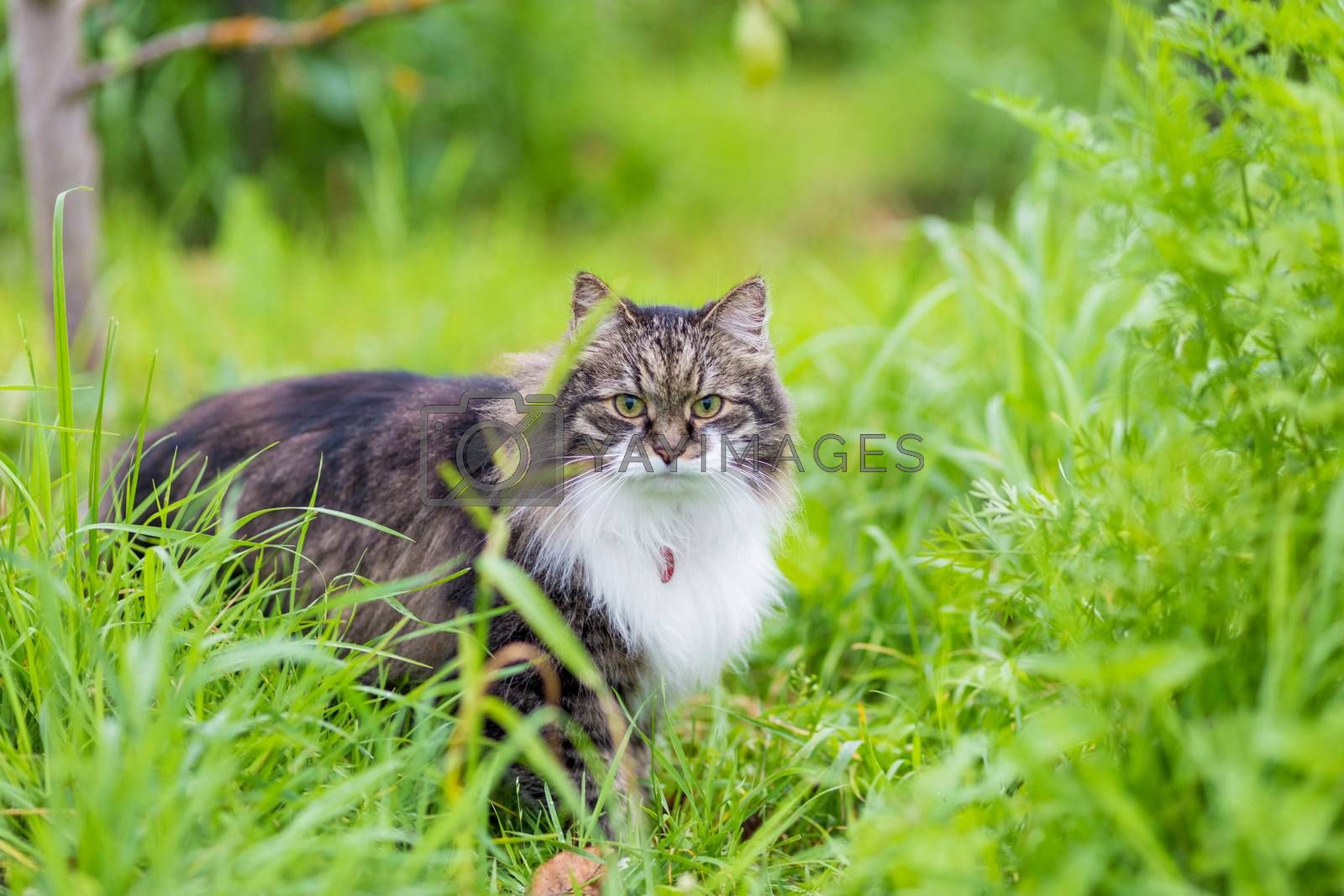 A fluffy gray cat with a luxurious white breast sits in the grass and looking at the camera
