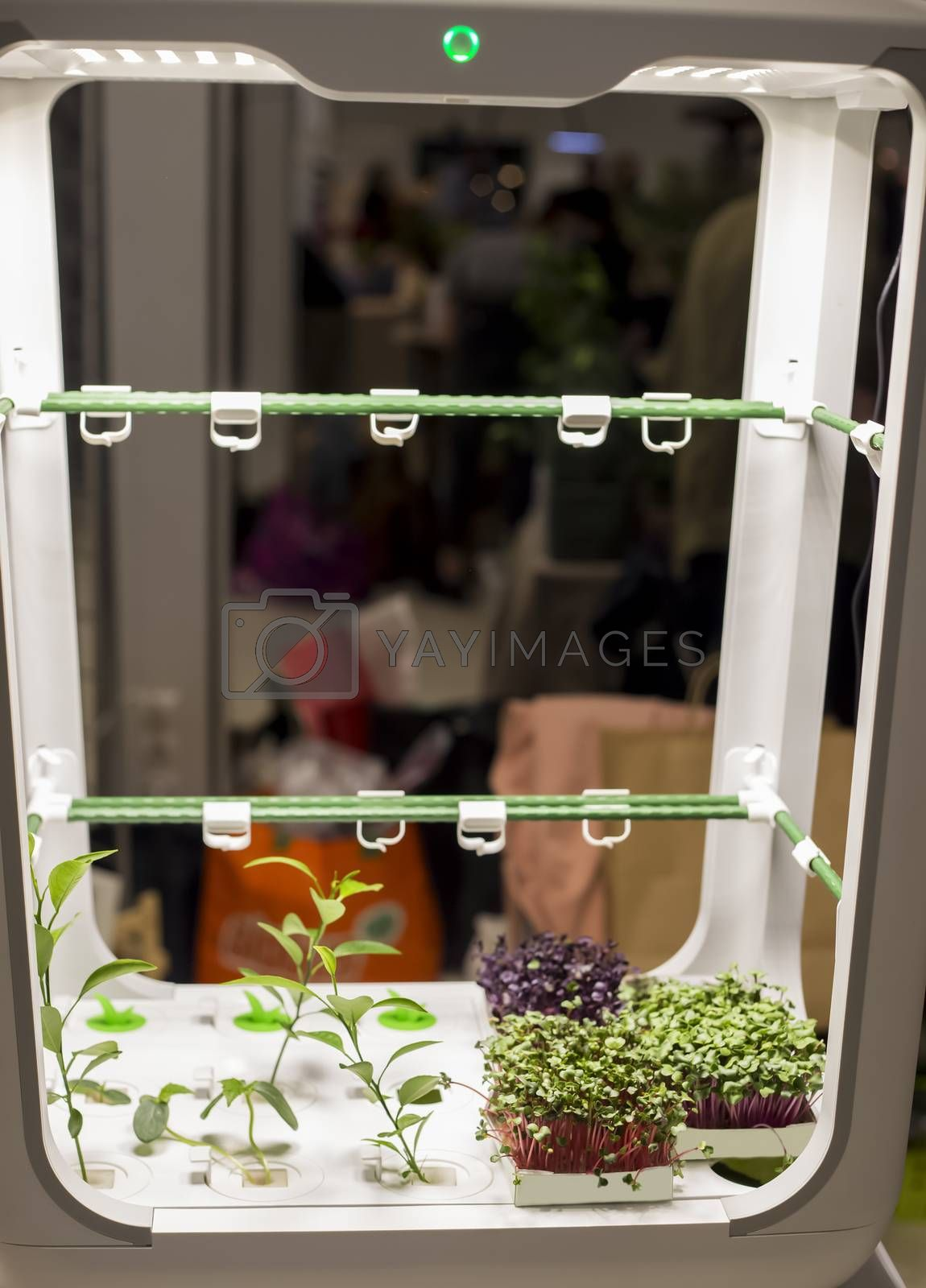 micro farm for growing plants at home, hydroponics with microgreen sprouts, growing healthy eating concept at home garden. Soft focus