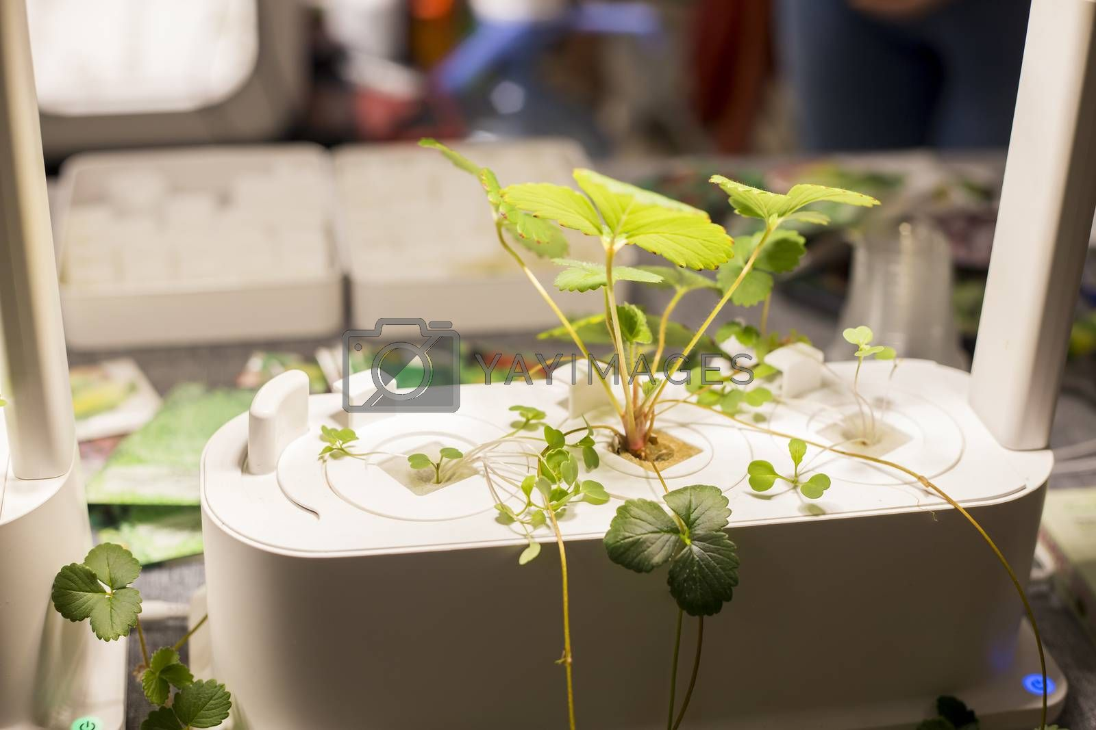micro farm for growing plants at home, hydroponics with green sprouts, growing healthy eating concept at home garden.Soft focus
