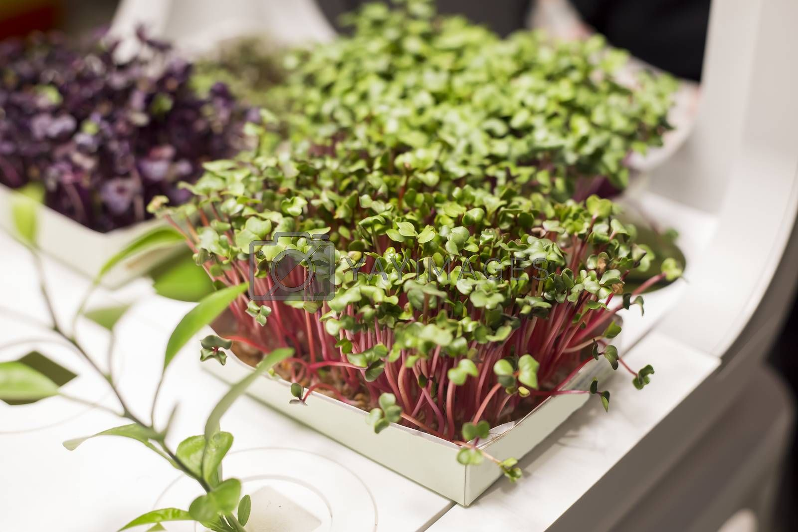 Microgreen sprouts of peas vegetable, growing healthy eating concept at home garden.soft focus