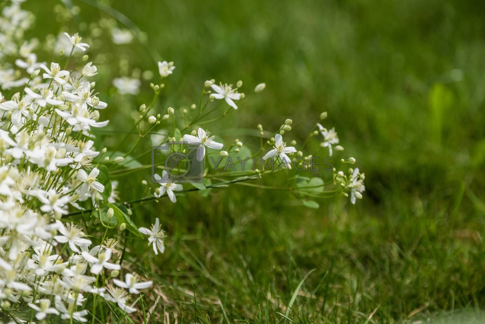White climbing flowers in the garden of a country house. Summer beauty, place for text.