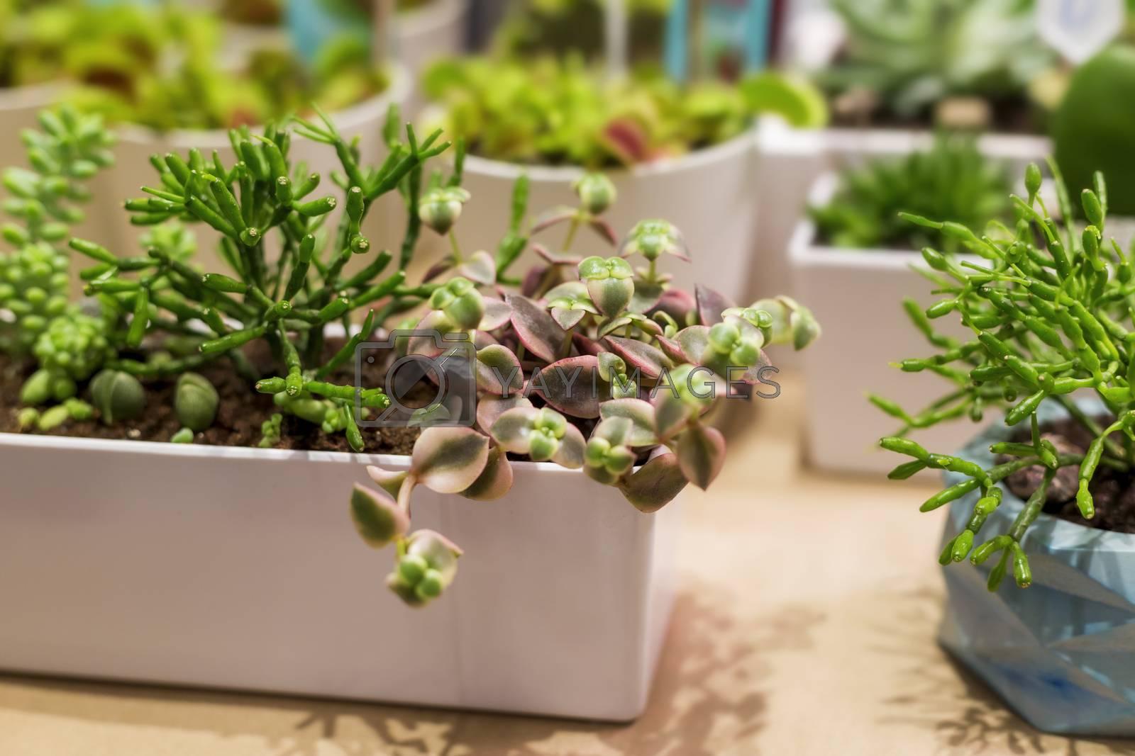 .Succulent gardens in a white decorative pot for interior decoration