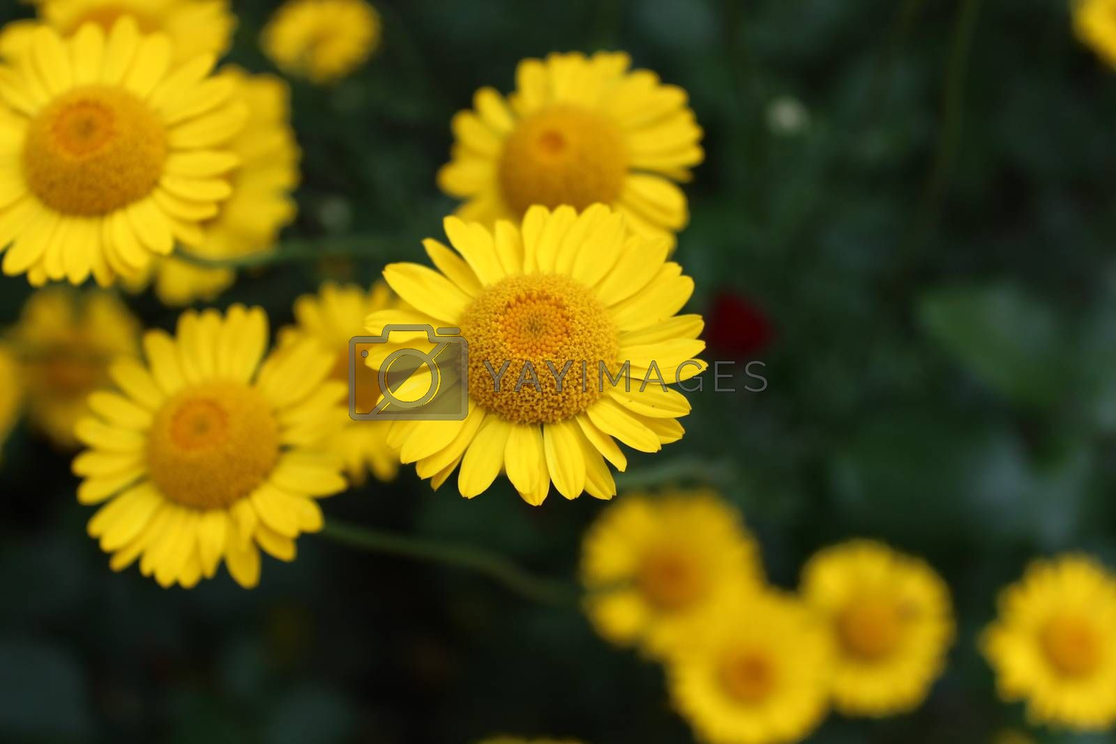 Royalty free image of Yellow flowers in the garden by martina_unbehauen