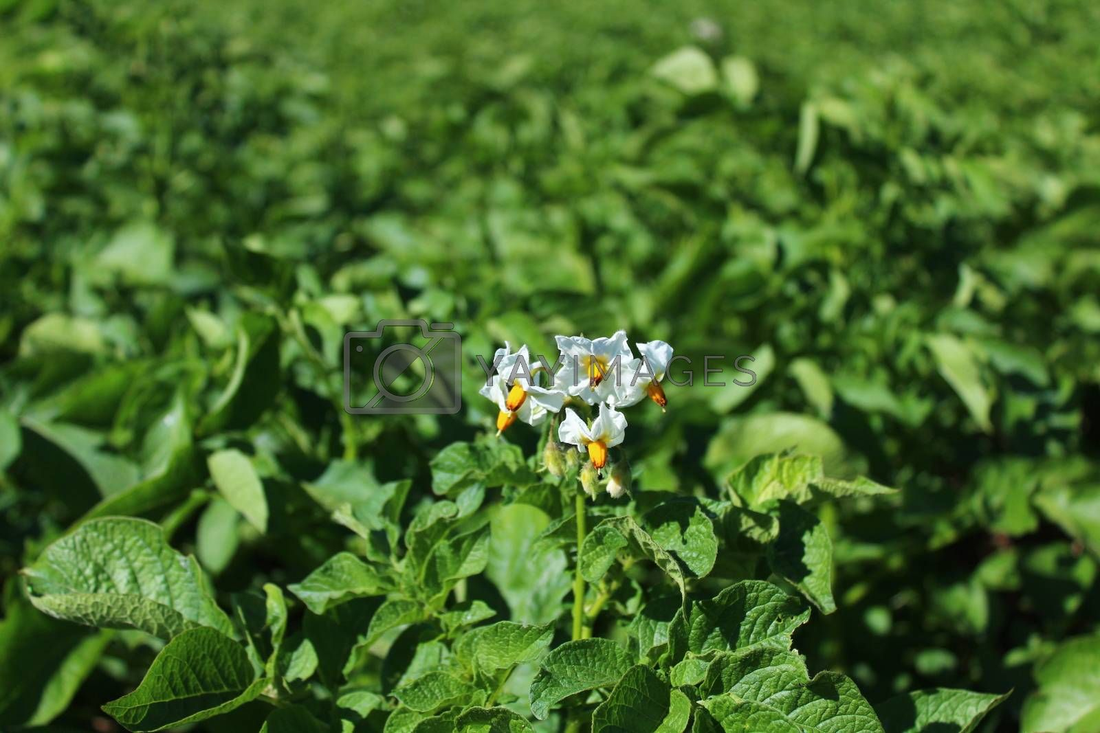 Royalty free image of many potato plants in the garden by martina_unbehauen