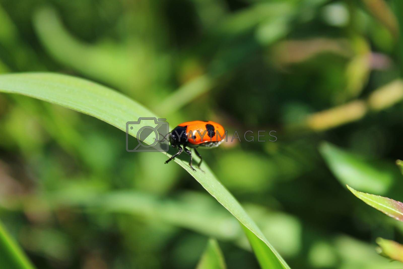 Royalty free image of little beetle in the garden by martina_unbehauen