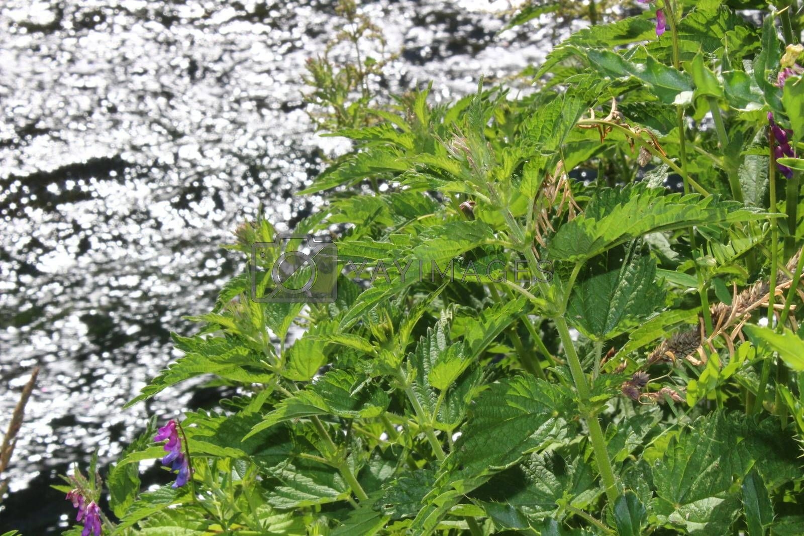 Royalty free image of stinging nettles on a river by martina_unbehauen