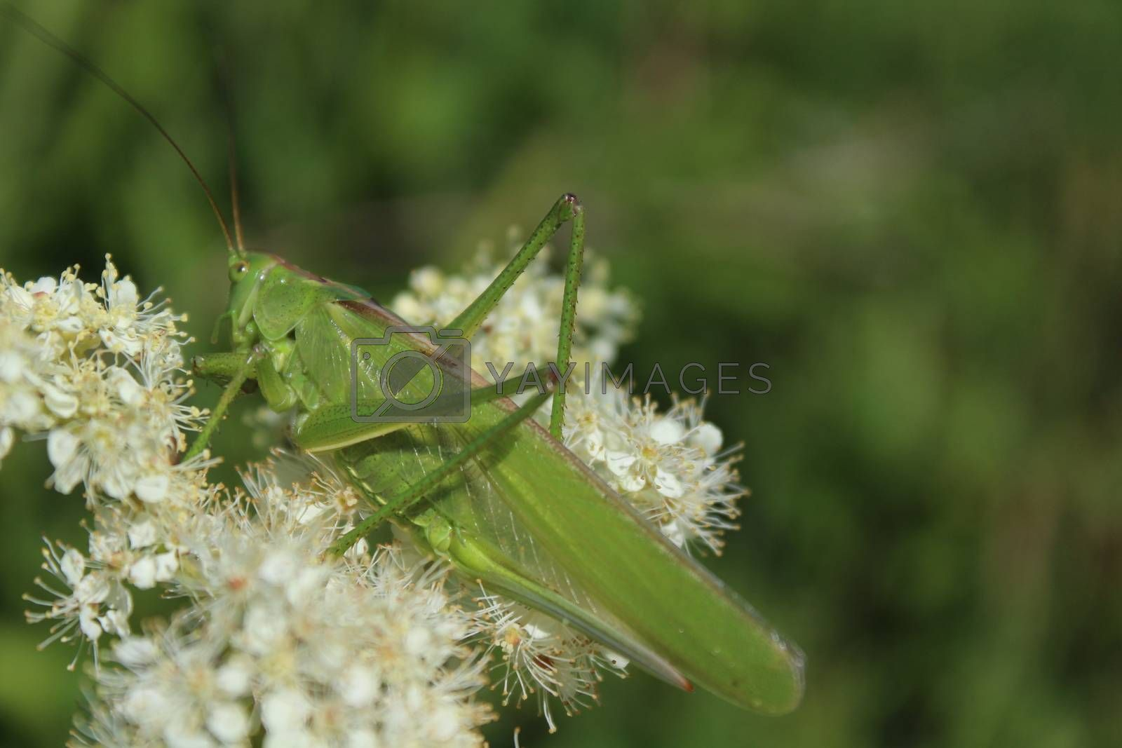 Royalty free image of bush cricket on a blossoming meadow sweet by martina_unbehauen