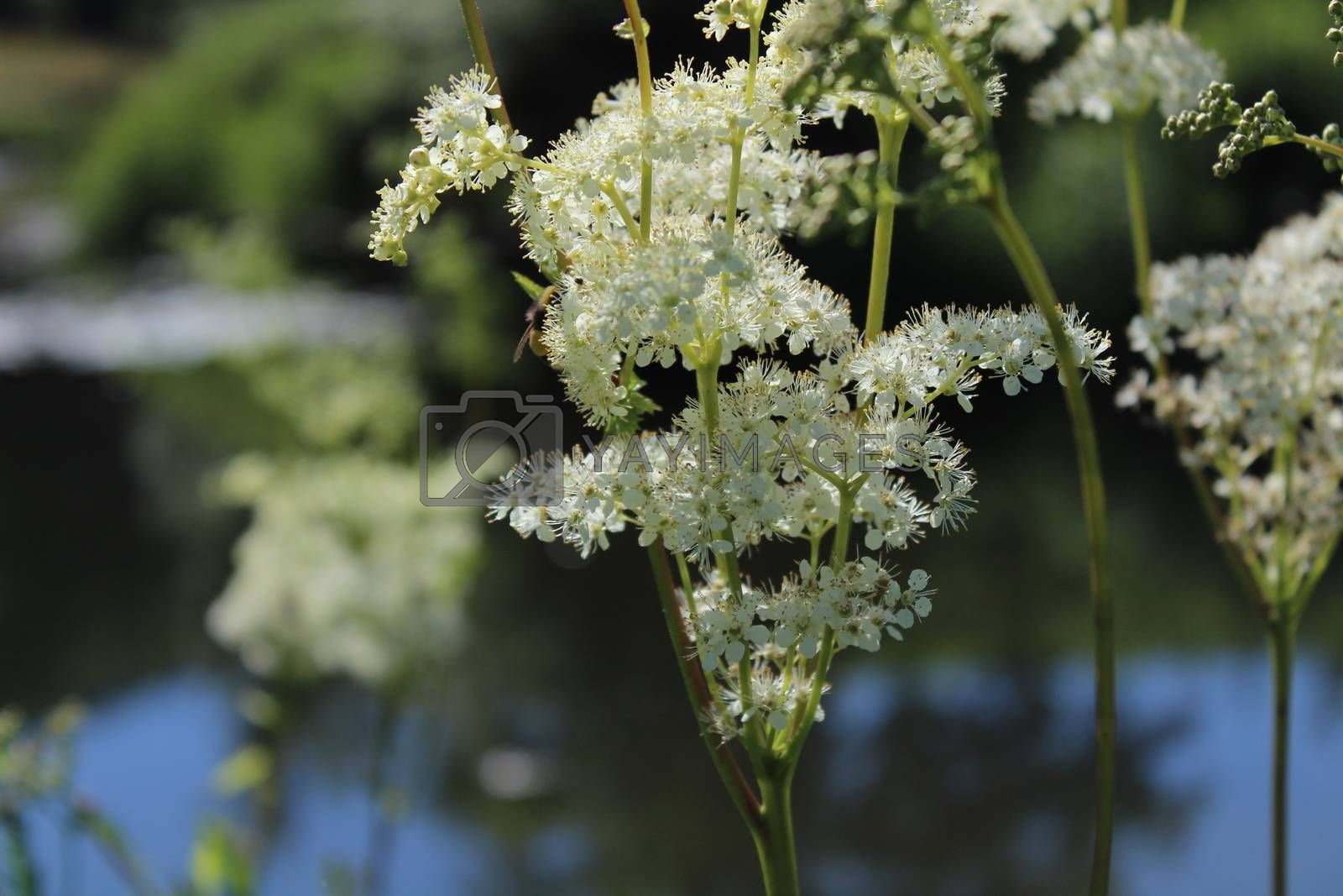 Royalty free image of blossoming meadowsweet in the meadow by martina_unbehauen