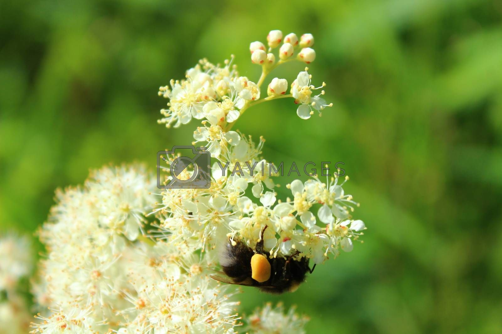 Royalty free image of blossoming meadowsweet with a bumblebee in the meadow by martina_unbehauen