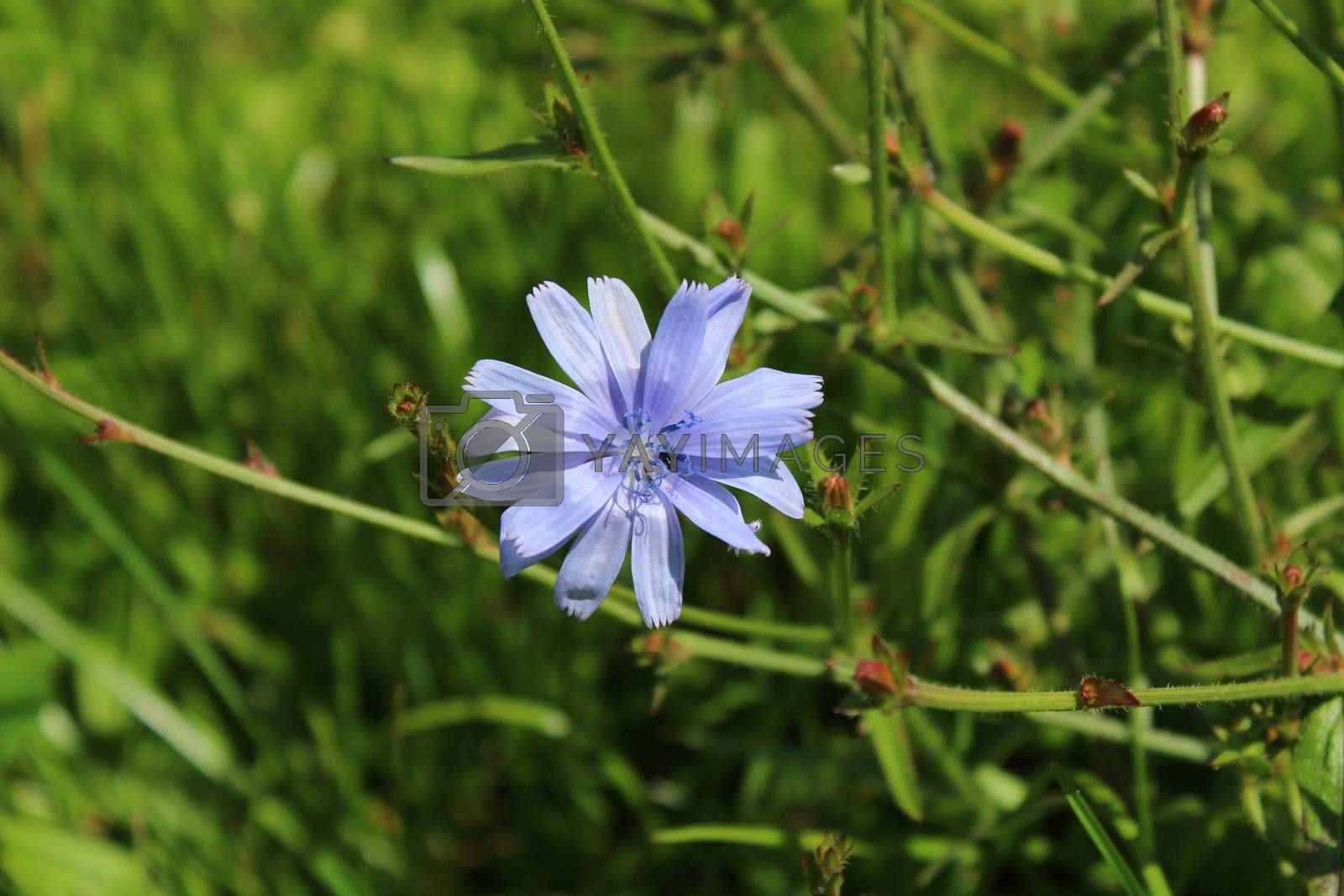 Royalty free image of blue chicory in the meadow by martina_unbehauen