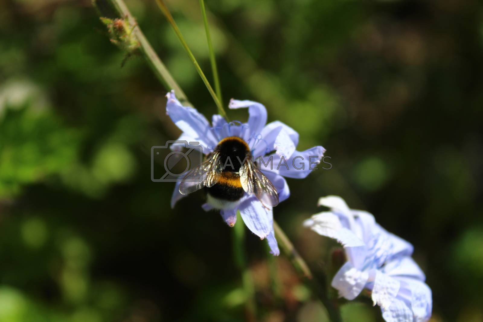 Royalty free image of bumblebee on a blue chicory by martina_unbehauen