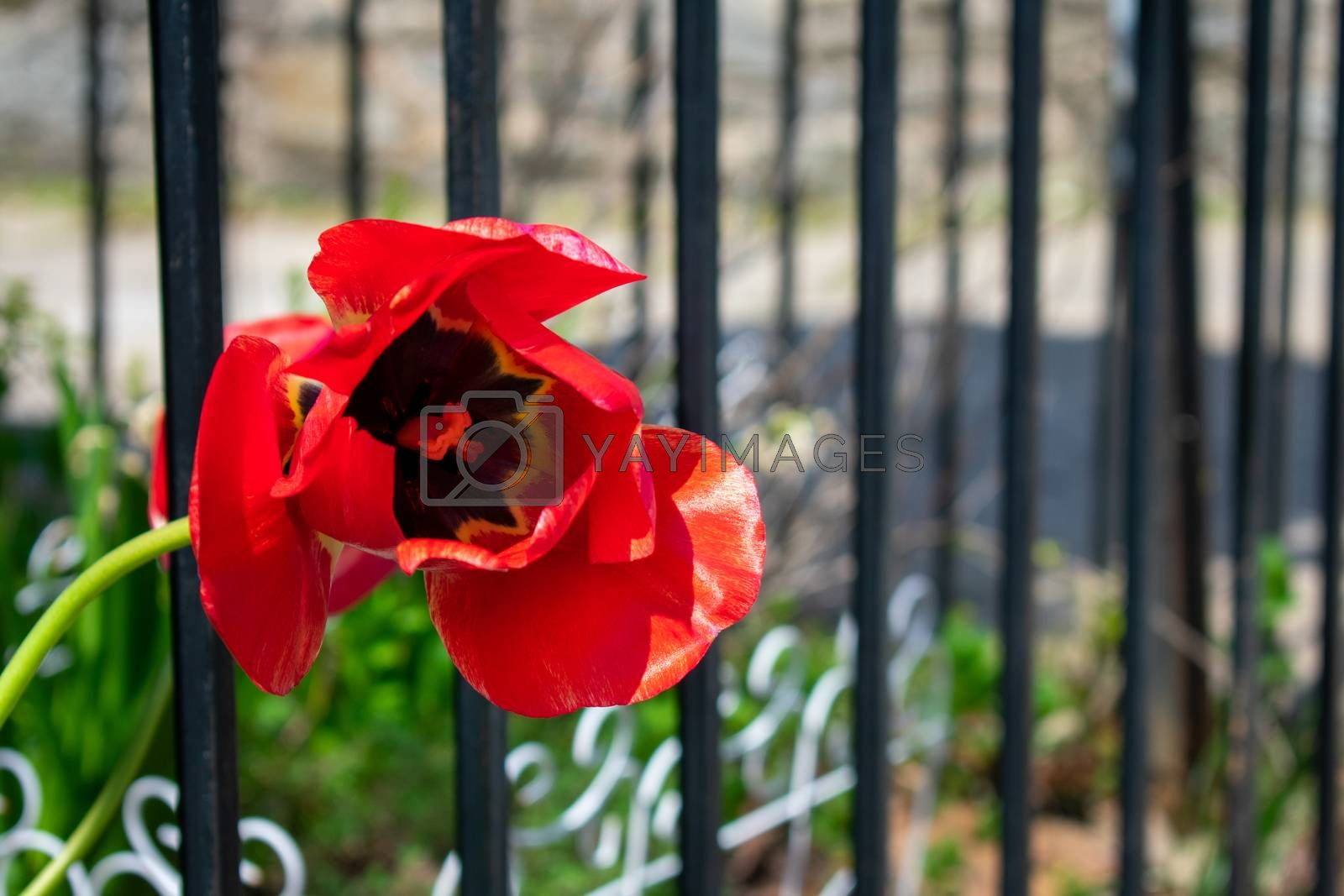 A Single Red Tulip Next to a Fence and Suburban Sidewalk