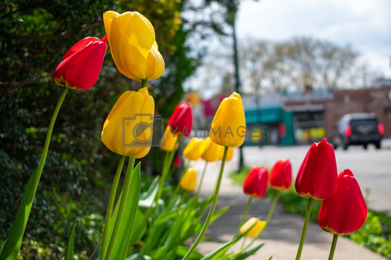 A Patch of Fresh Yellow and Red Tulips Next to a Suburban Sidewalk