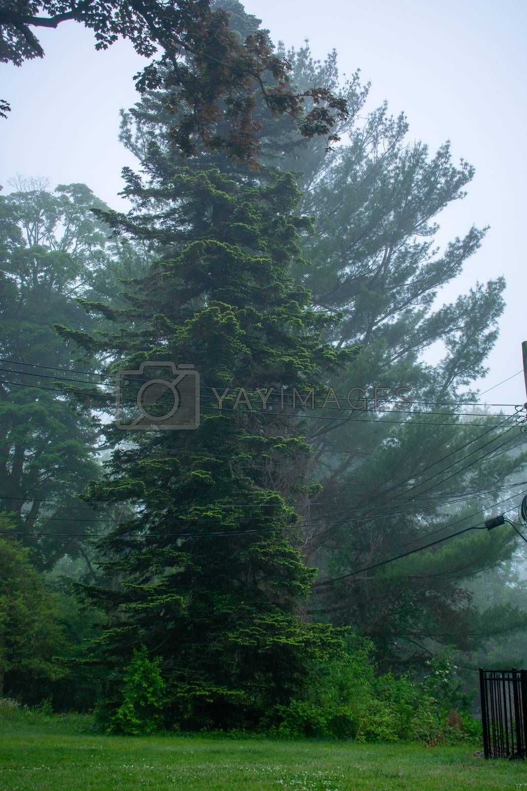 A Tall Green Tree on a Foggy Day in a Spring Suburban Backyard