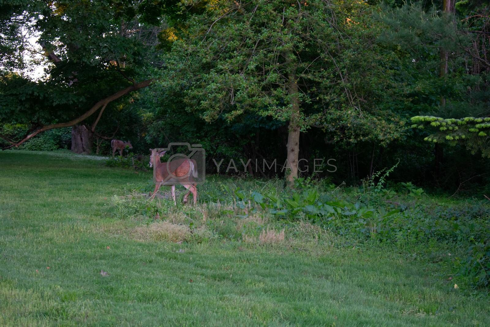 A Young Deer in a Patch of Grass in a Suburban Backyard