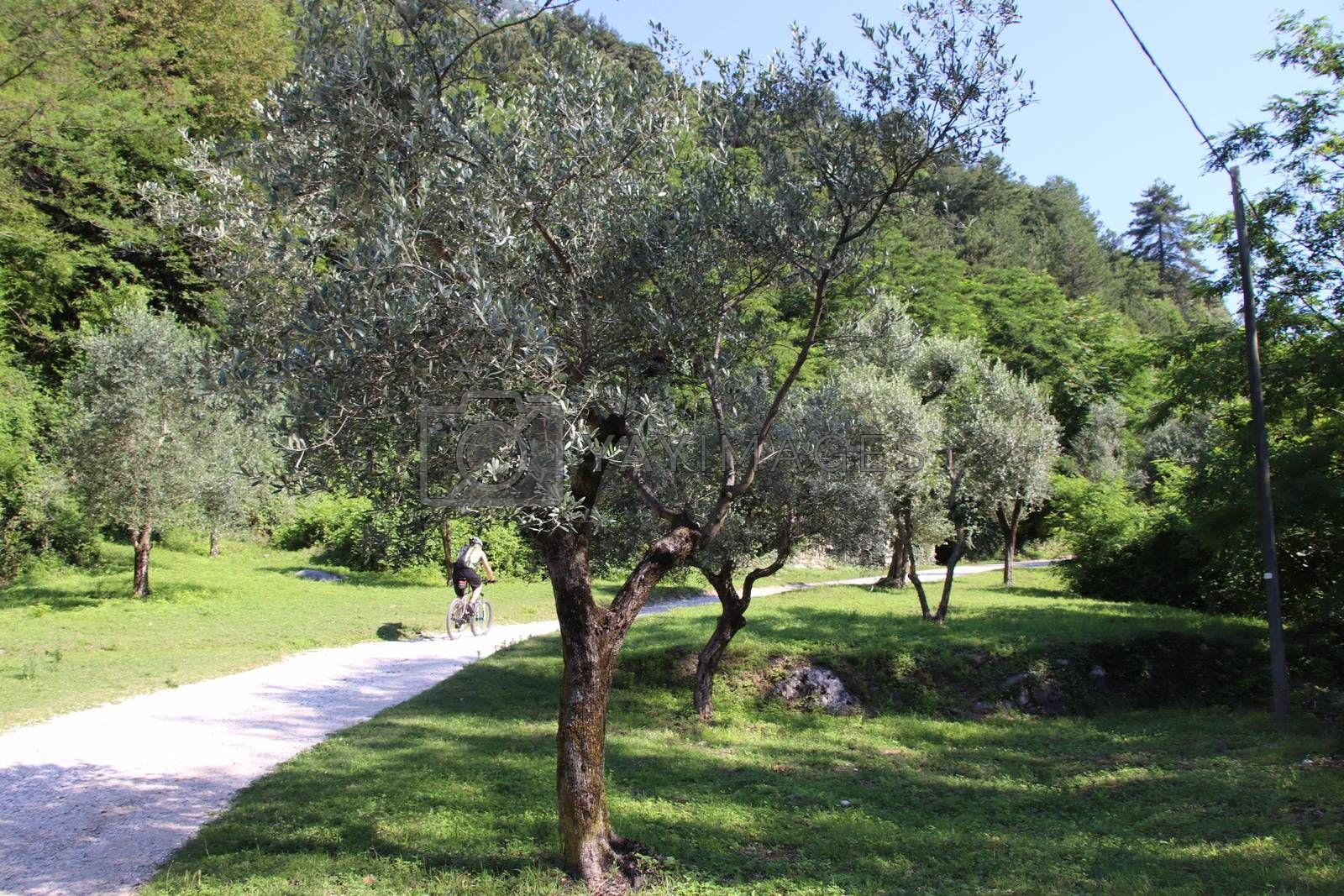 cyclist in olive grove on Garda lake in northern Italy