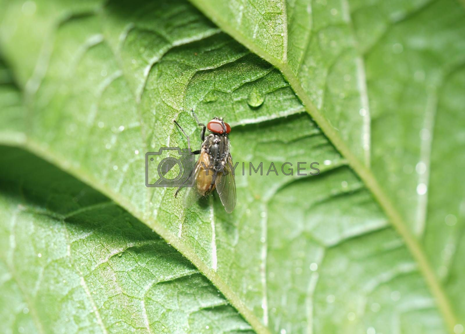 Close up of a fly caught on a green leaf.