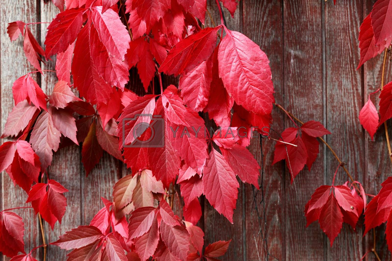 Royalty free image of Autumn Leaves Background by kvkirillov