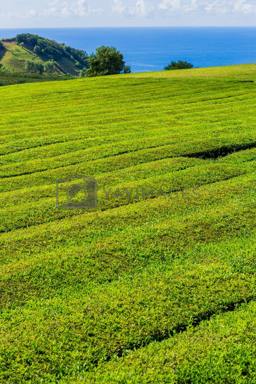 Royalty free image of tea factory Cha Gorreana by zittto