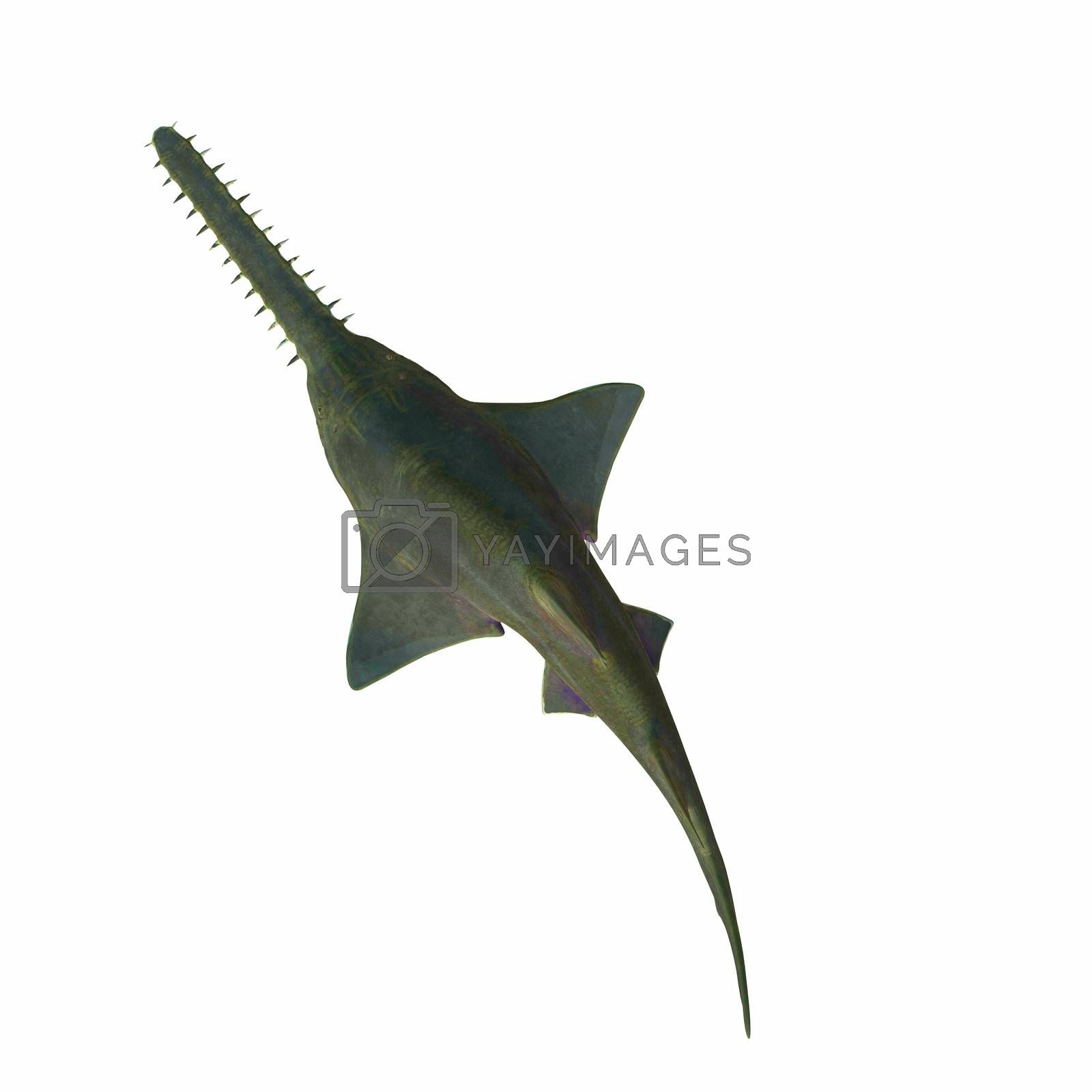 This predatory shark Onchopristis Sawfish lived in the seas of several countries during the Cretaceous Period.