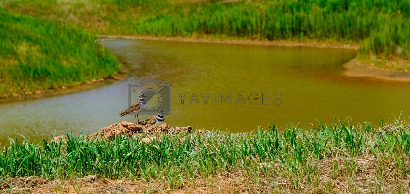 Two Killdeer by Retention Pond at a construction site