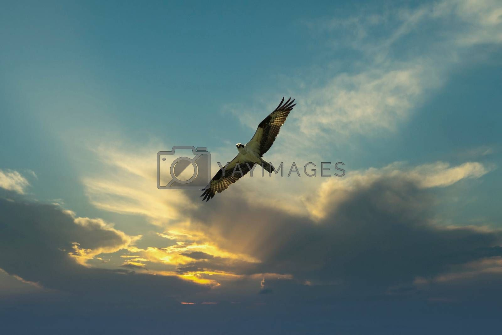 Osprey bird flying in the evening sunset sky looking for prey