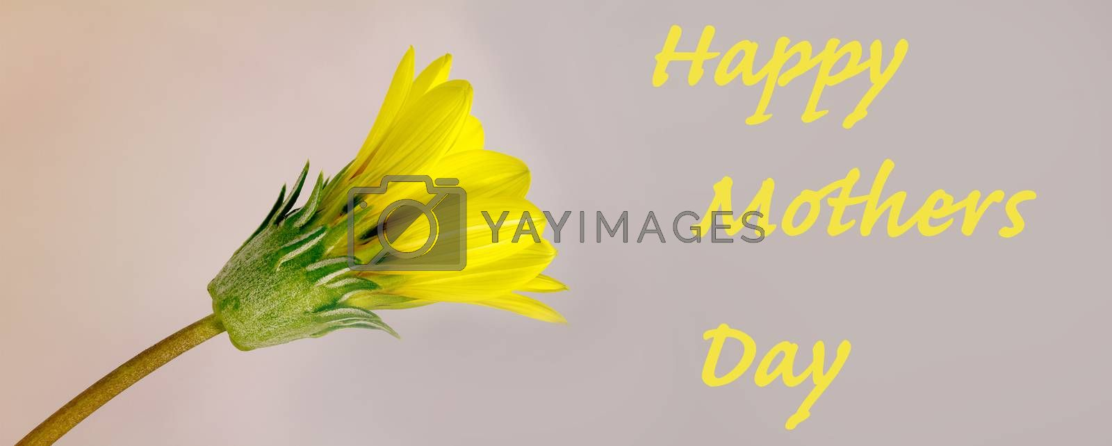 Yellow daisy flower bright greeting card for mothers day