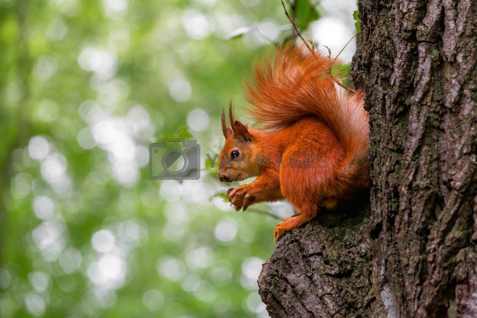 Cute red wild squirrel eating a walnut in the park. Close-up view