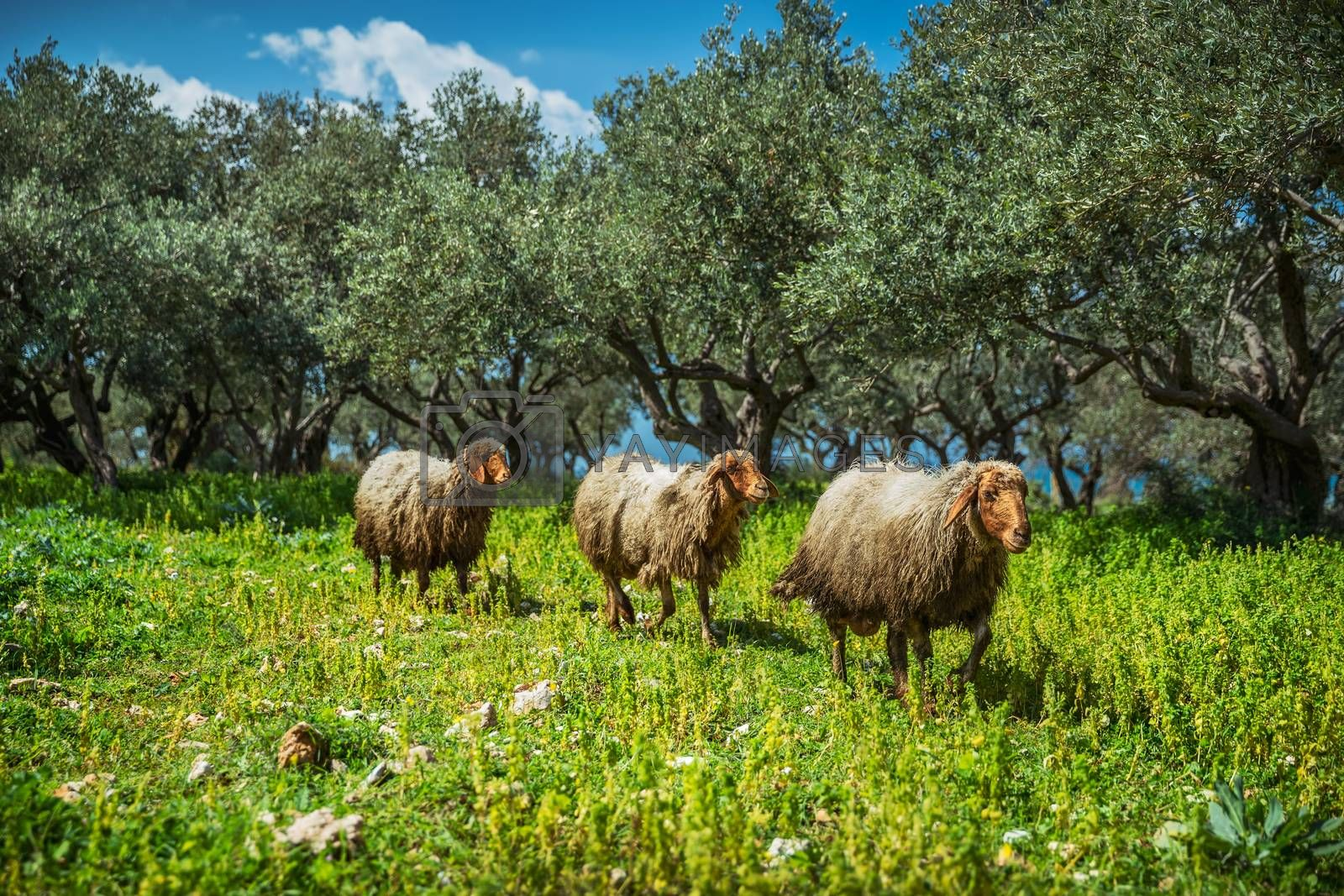 Domestic Sheeps. Farm Animals Grazing in the Wild Nature. Open Space Farming. Organic Agriculture.