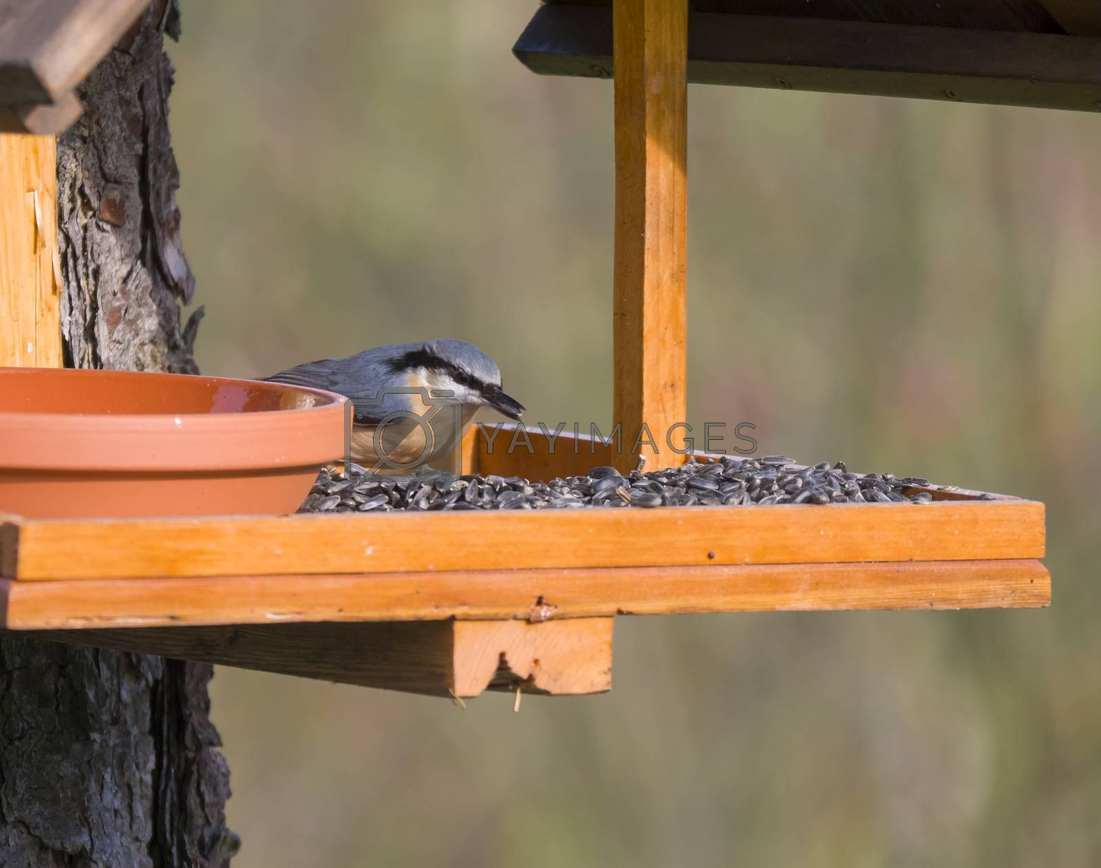 Close up wood Nuthatch or Eurasian nuthatch, Sitta europaea perched on the bird feeder table with sunflower seed. Bird feeding concept.