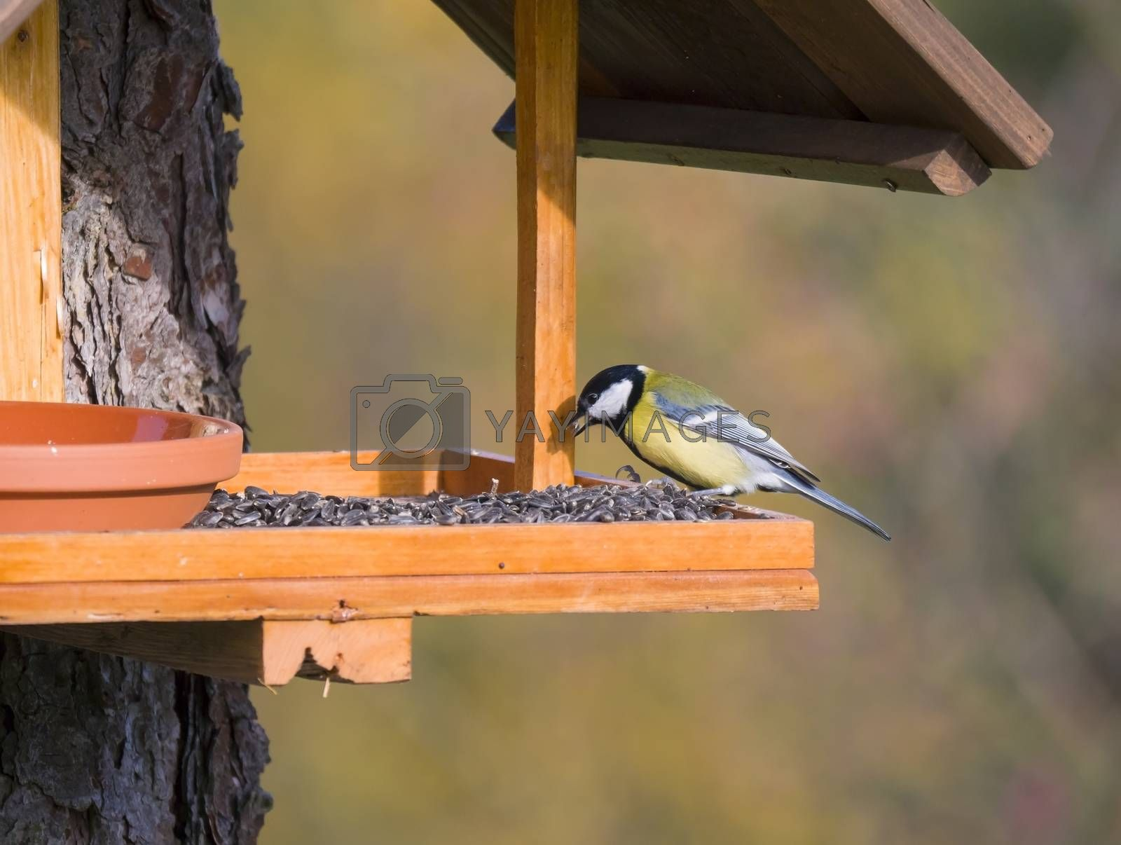 Close up Great tit, Parus major bird perched on the bird feeder table with sunflower seed. Bird feeding concept. Selective focus