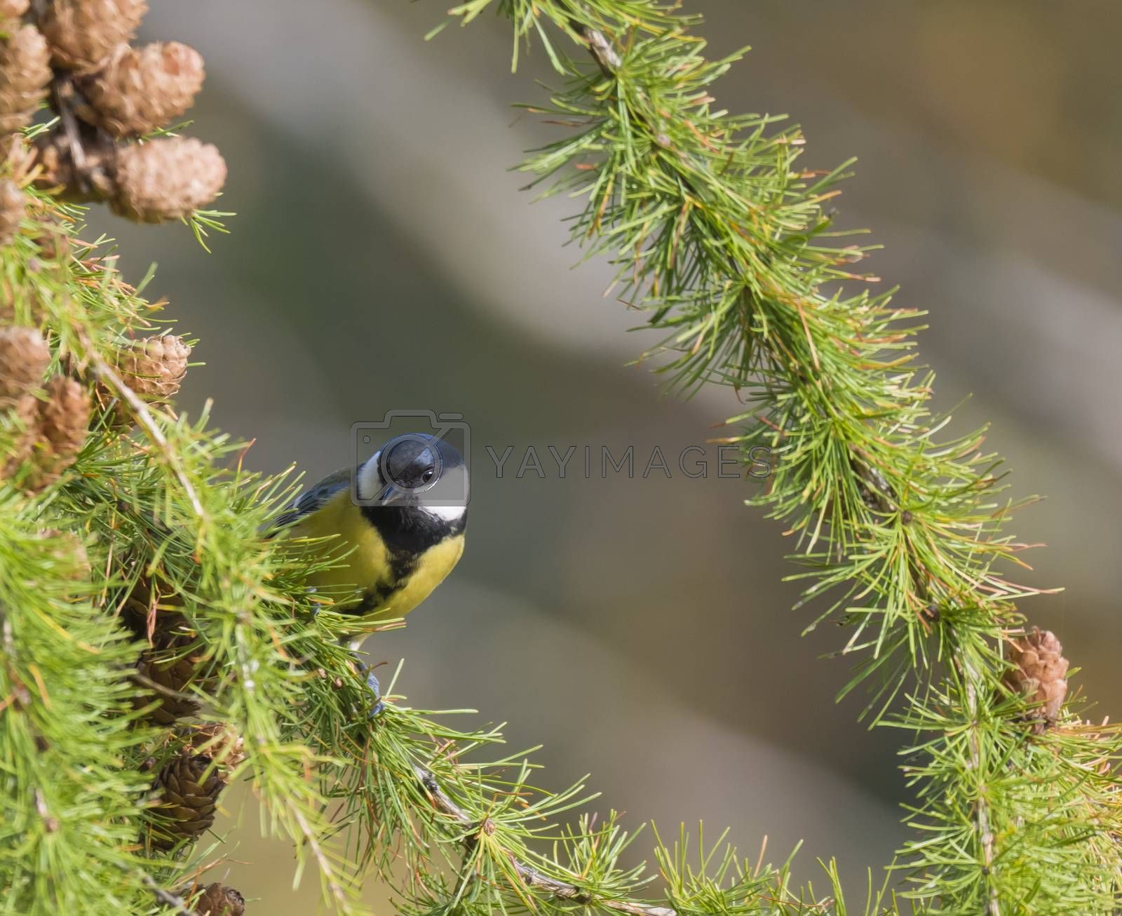 Close up Great tit, Parus major bird perched on lush geen larch tree branch, bokeh background, copy space