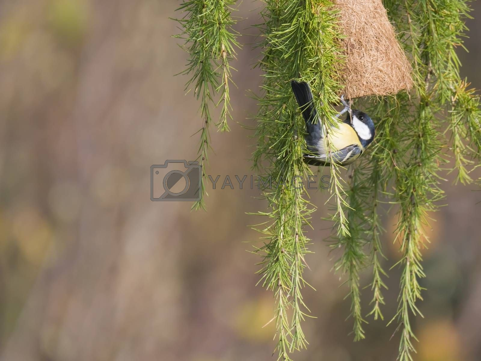 Close up Great tit, Parus major bird perched on lush geen larch tree branch with feeder, bokeh background, copy space..