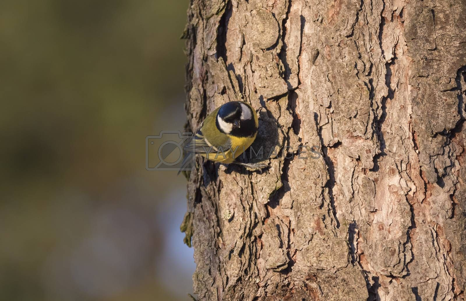 Close up Great tit, Parus major bird looking from larch tree trunk with head down. Green bokeh background, copy space