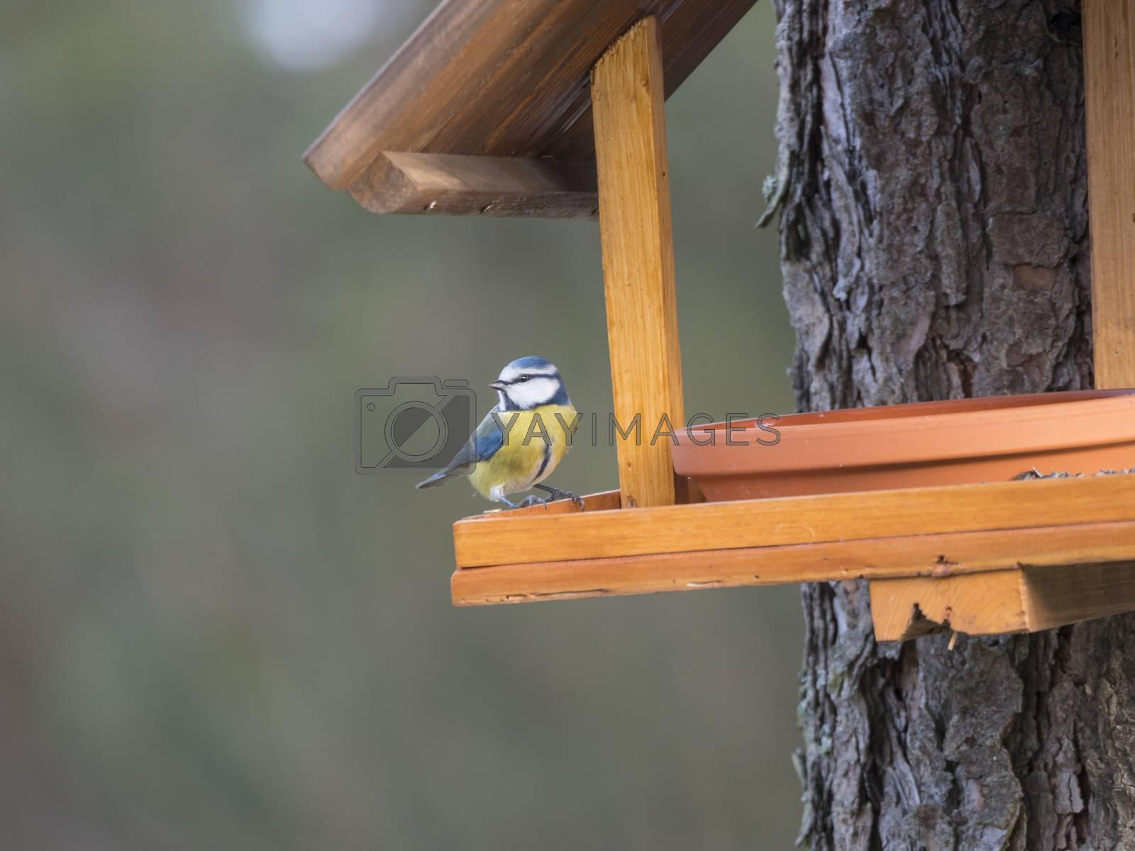 Close up Eurasian blue tit, Cyanistes caeruleus bird perched on the bird feeder table with sunflower seed. Bird feeding concept. Selective focus