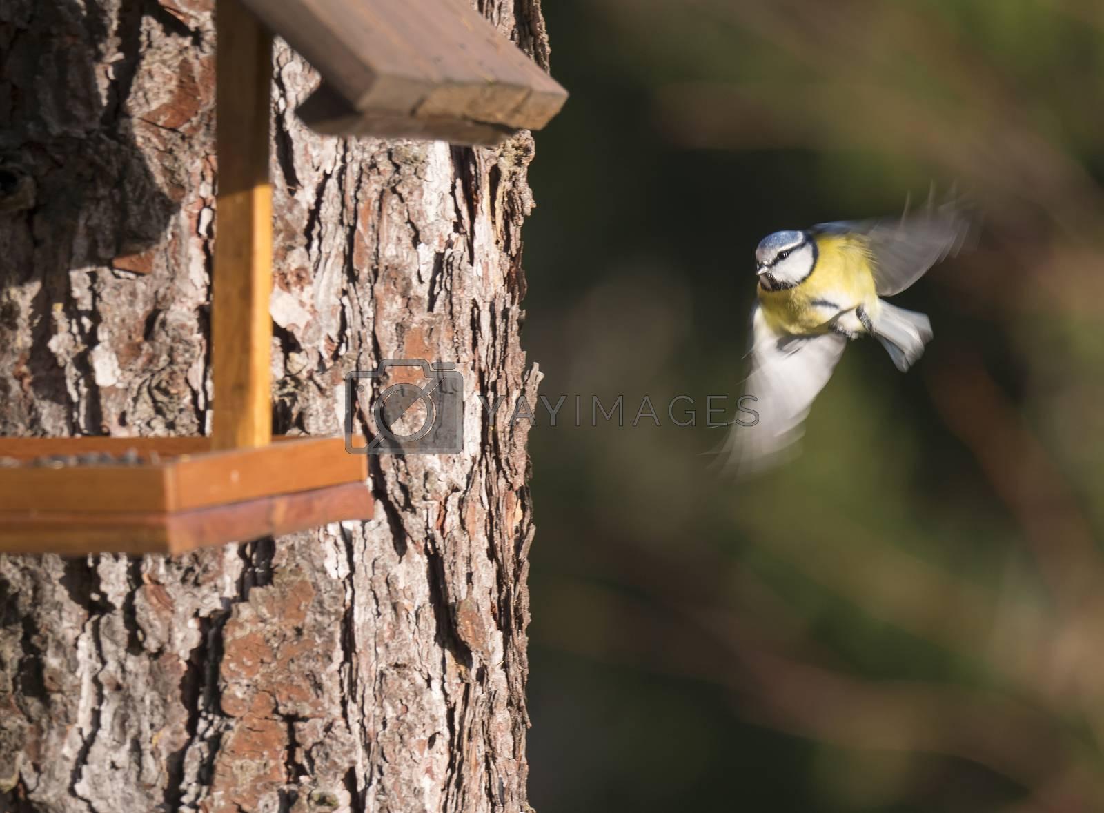 Eurasian blue tit, Cyanistes caeruleus bird in flight, flying to bird feeder table. Bird feeding concept. Selective focus. Motion blur.