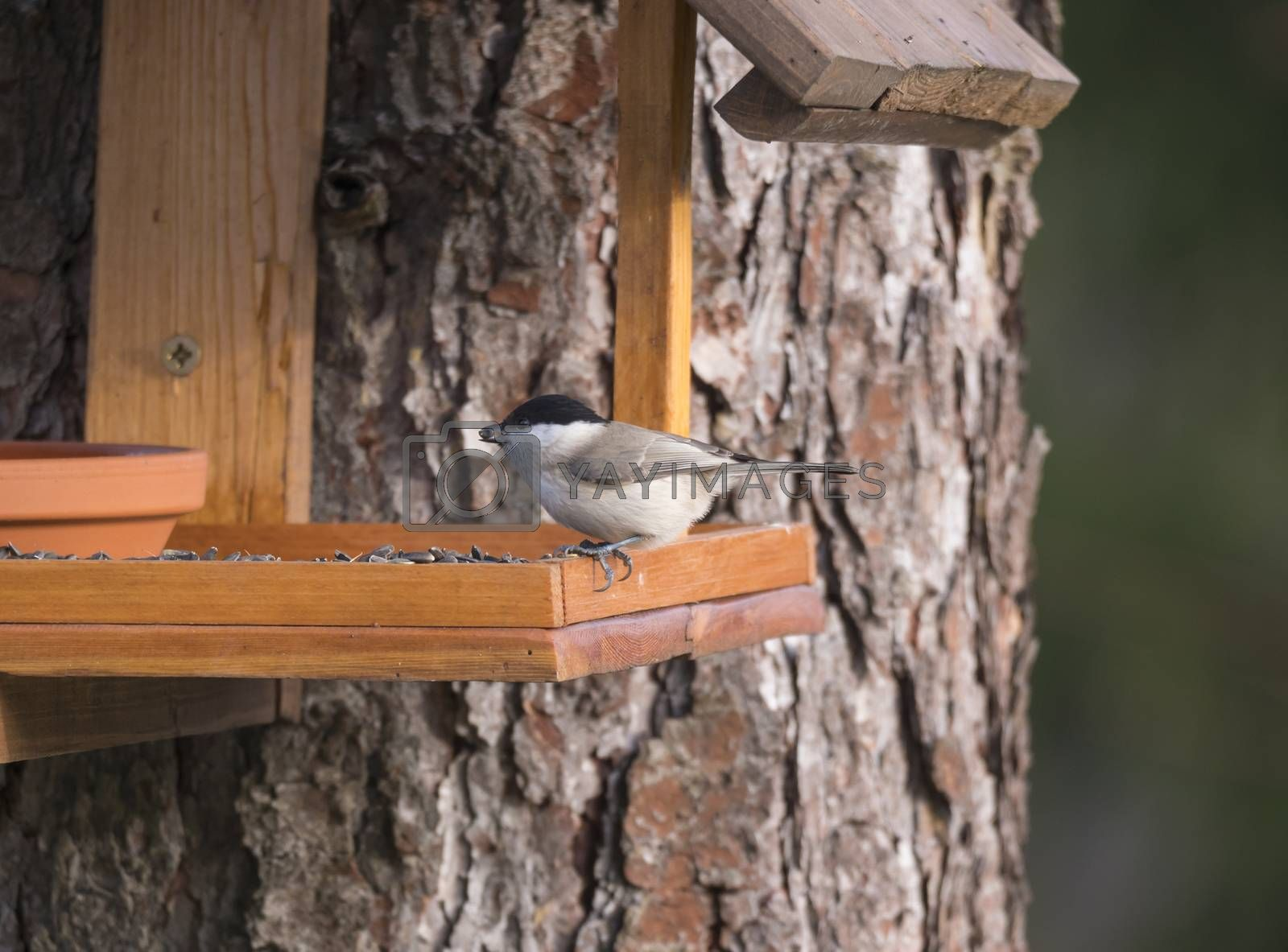 Close up Willow tit, Poecile montanus bird perched on the bird feeder table with sunflower seed. Bird feeding concept. Selective focus