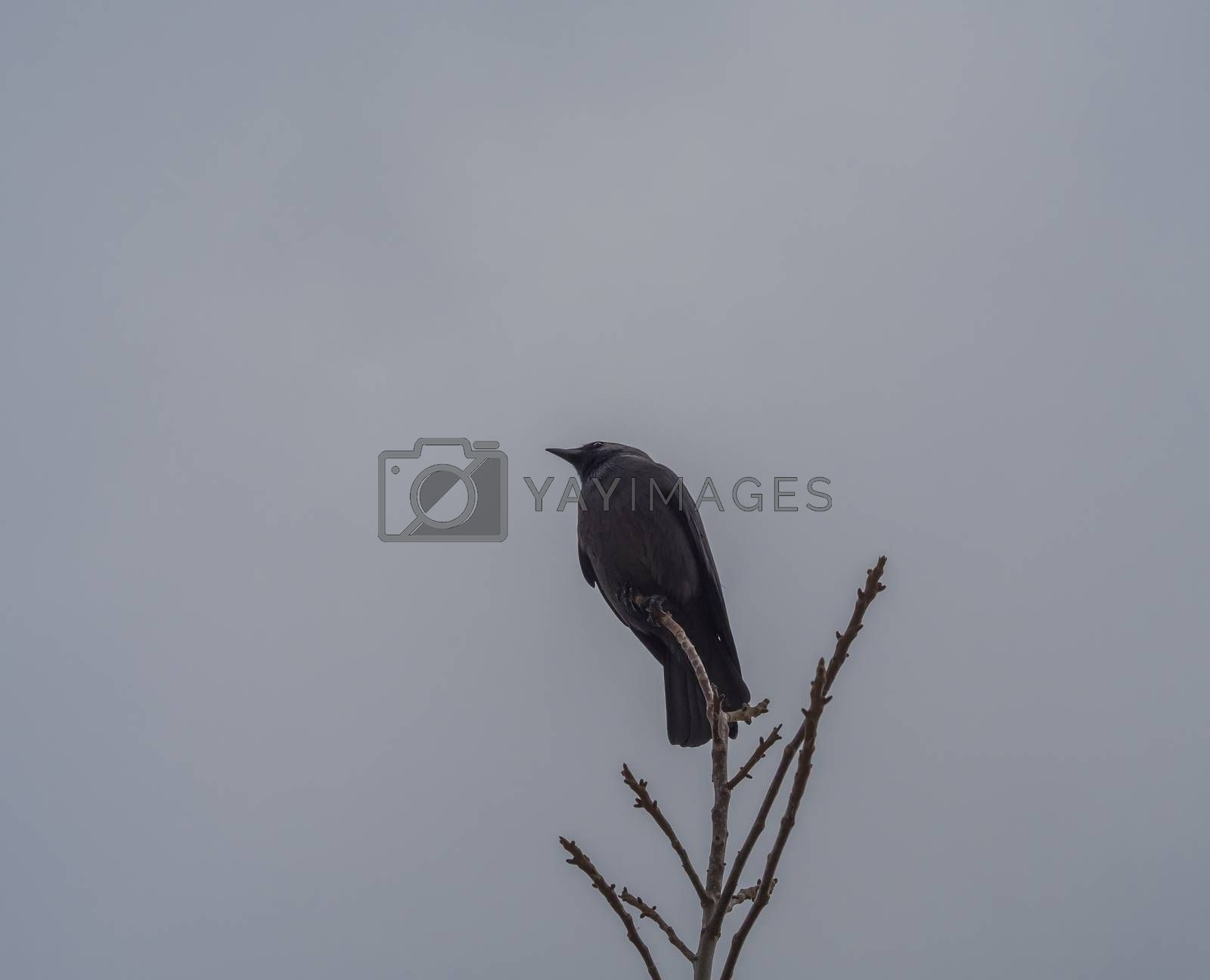 close up black raven crow sitting on the bare tree branch on gray sky winter background