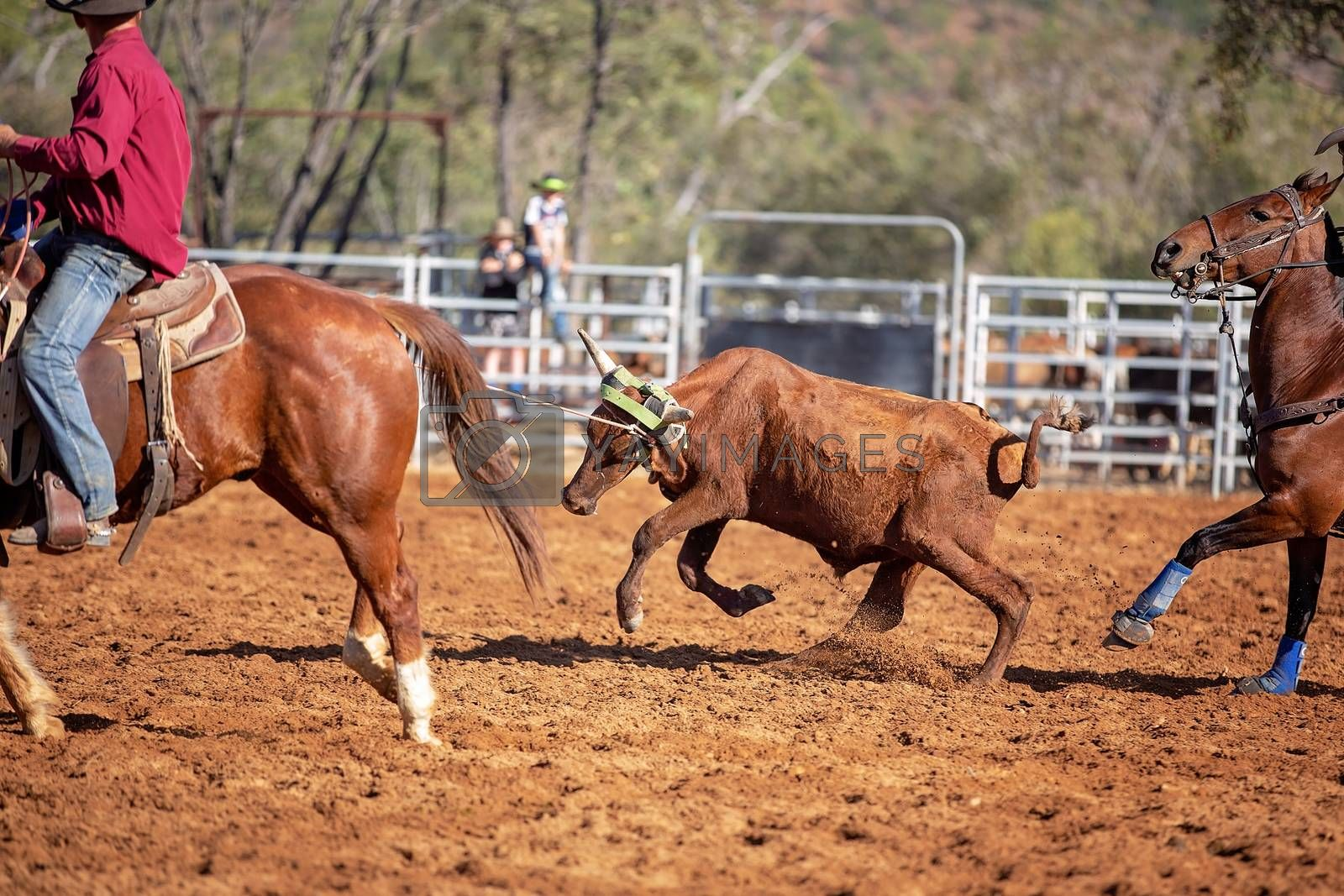 Calf roping event at an Australian country rodeo